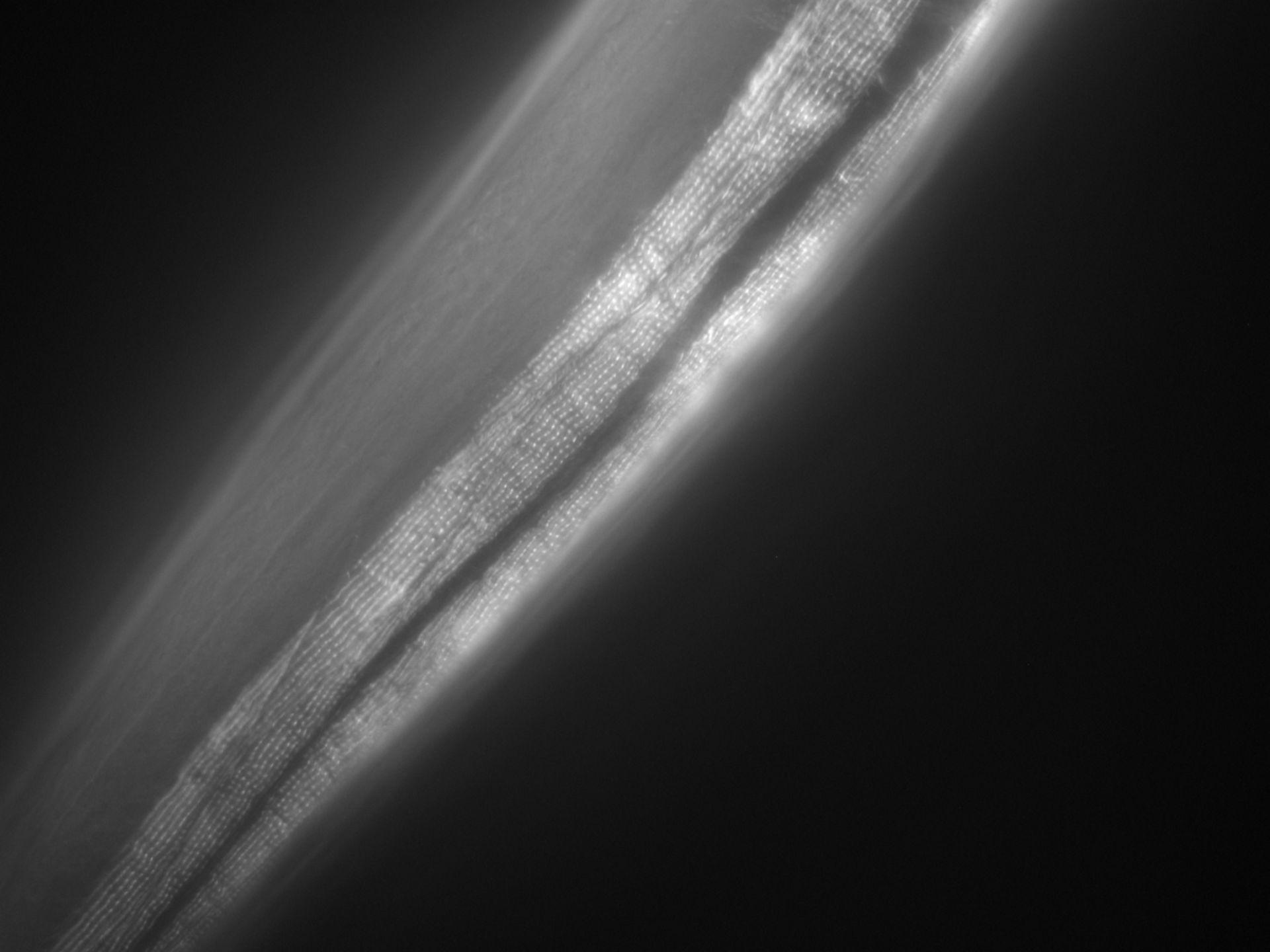 Caenorhabditis elegans (filamento di actina) - CIL:1049
