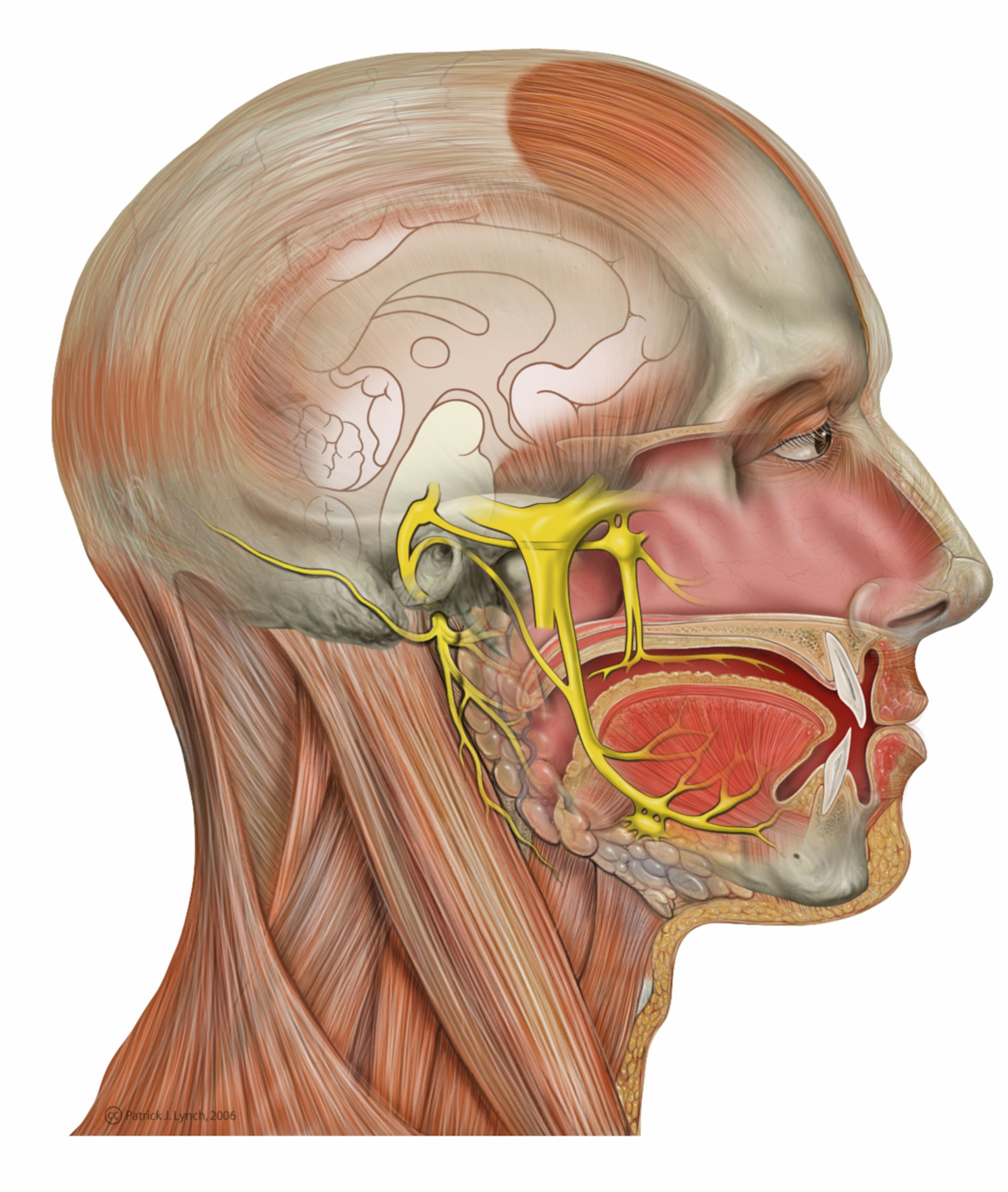 Head deep facial and trigeminal nerves