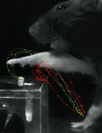 Rote Linien zeigen Bewegungen einer Ratte nach Schlaganfall. Das Tier kann das Zucker-Pellet nicht greifen. Nach der Rehabilitation sind die Bewegungen (grüne Linien) gleichmäßig und eindeutig. © Tabea Kraus