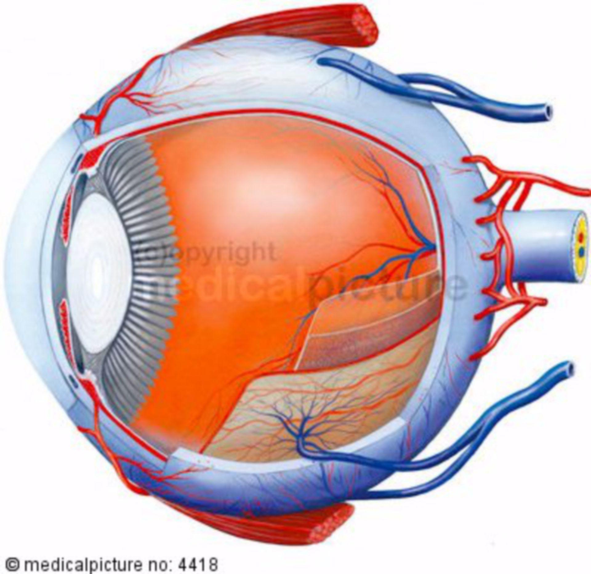 Sezione longitudinale di un occhio umano