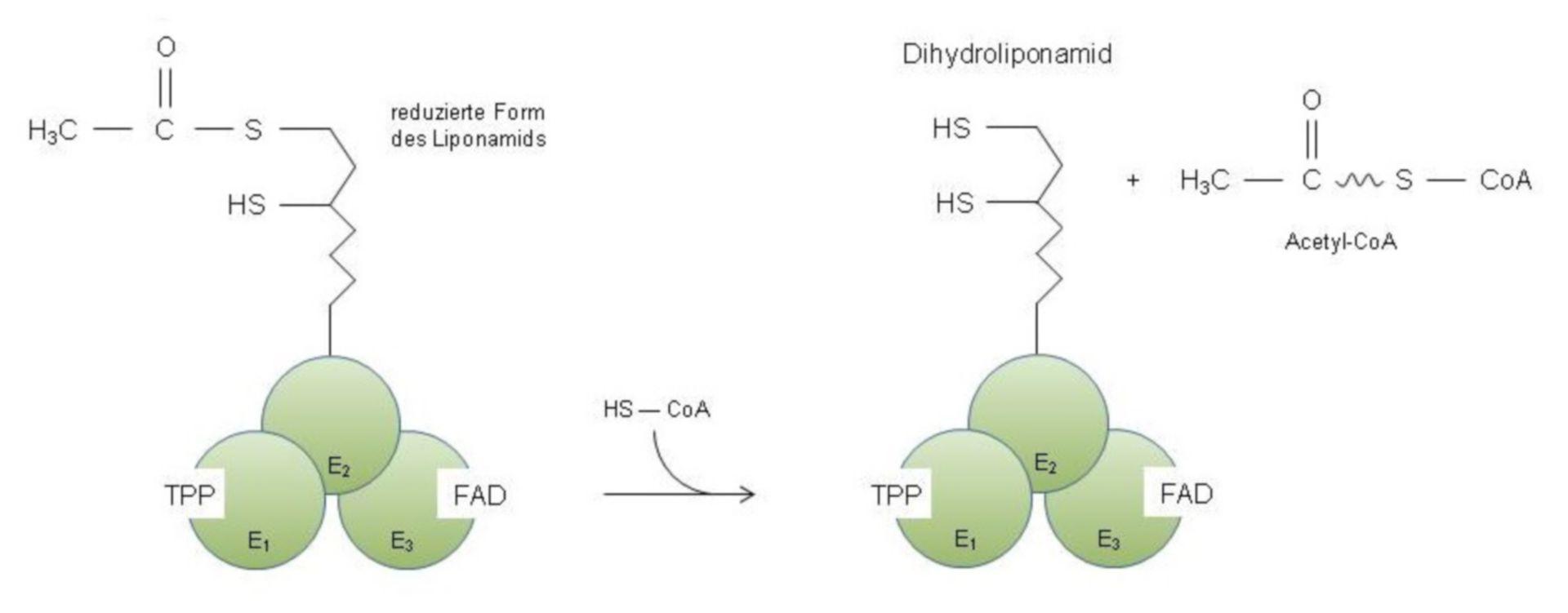 Transmisión del grupo acetil al coenzima A