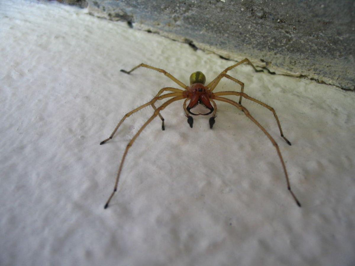 C. punctorium (Männchen)