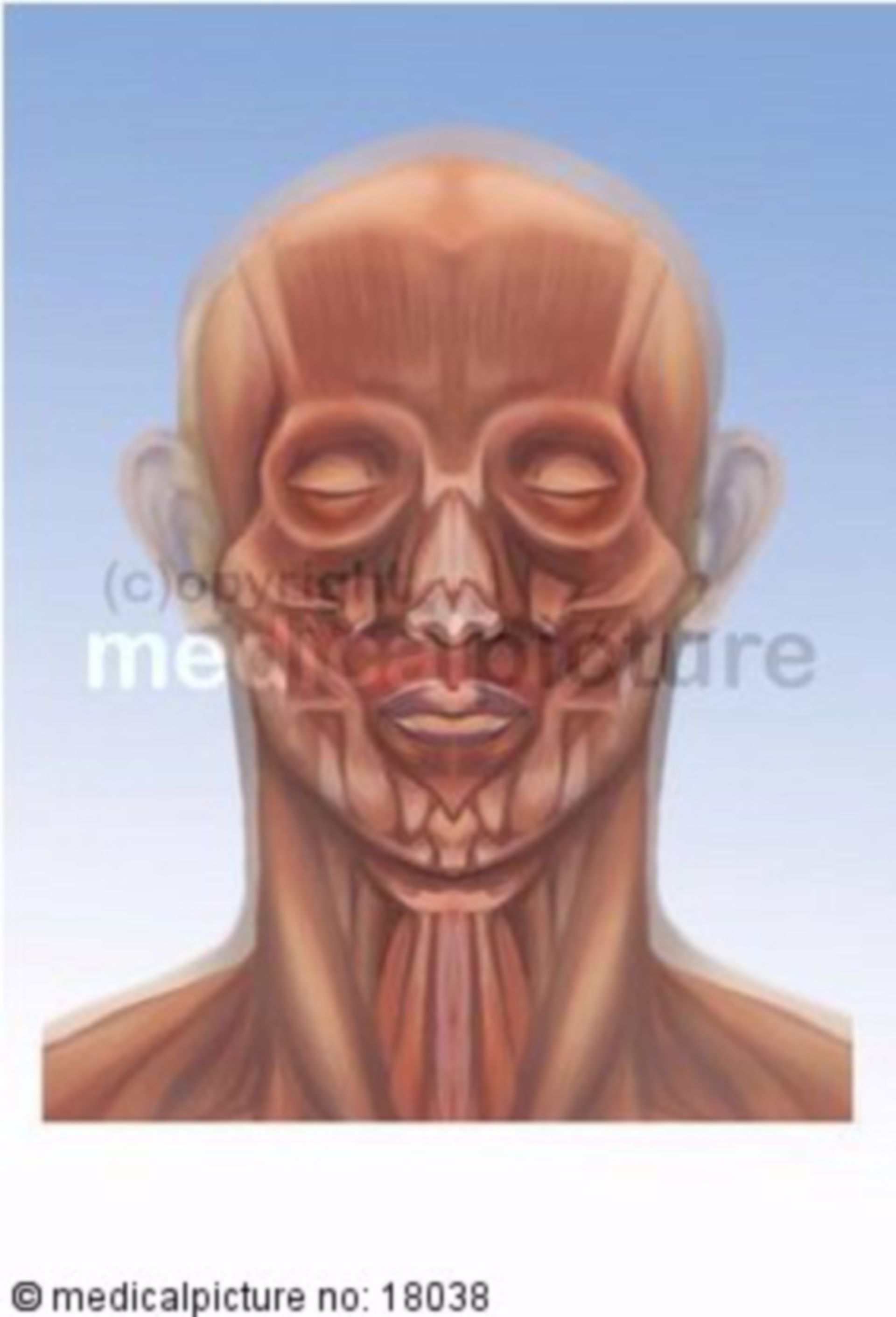 Plastic depiction of head- and cervical muscles