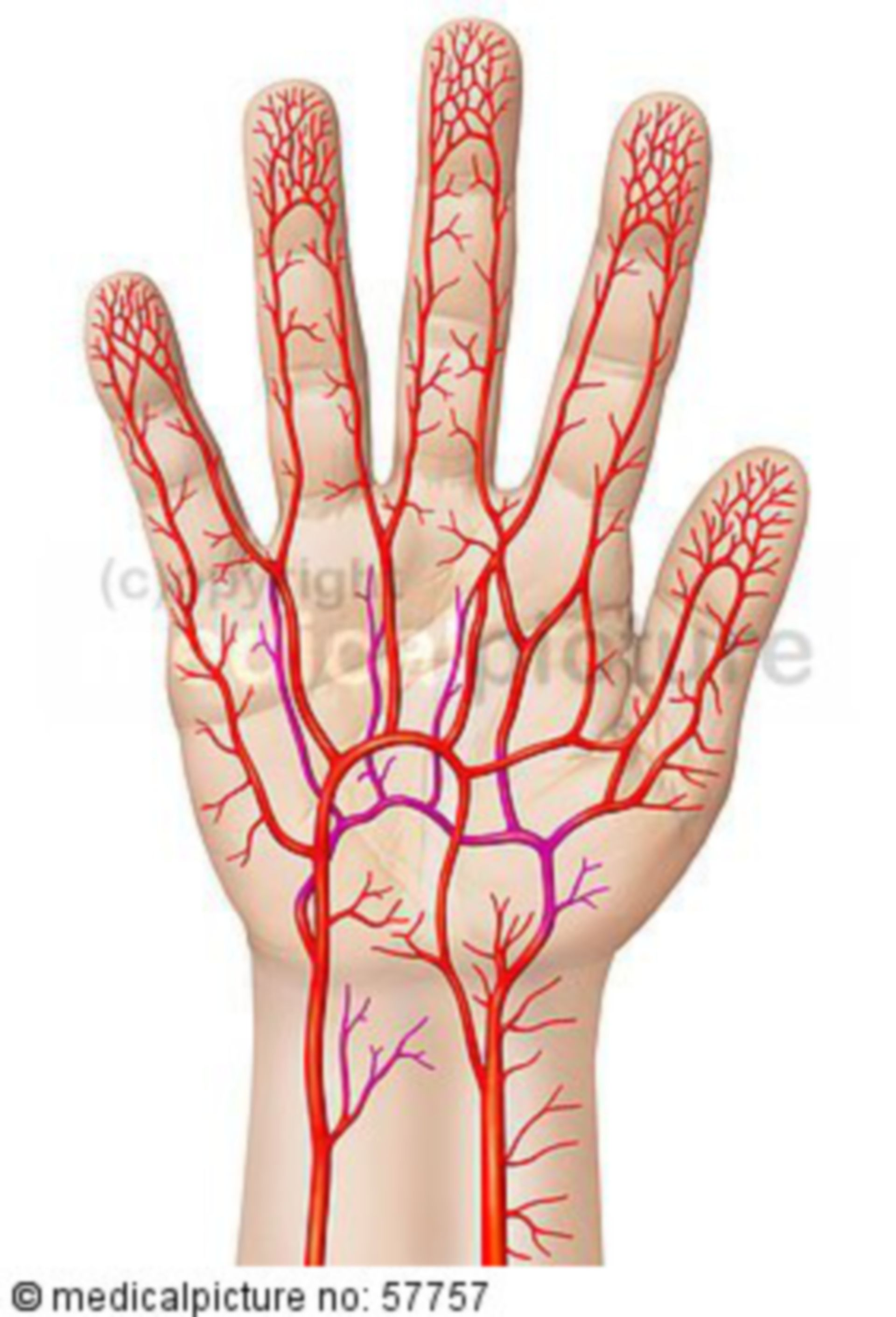 Anatomic illustrations - arterial supply of the hand