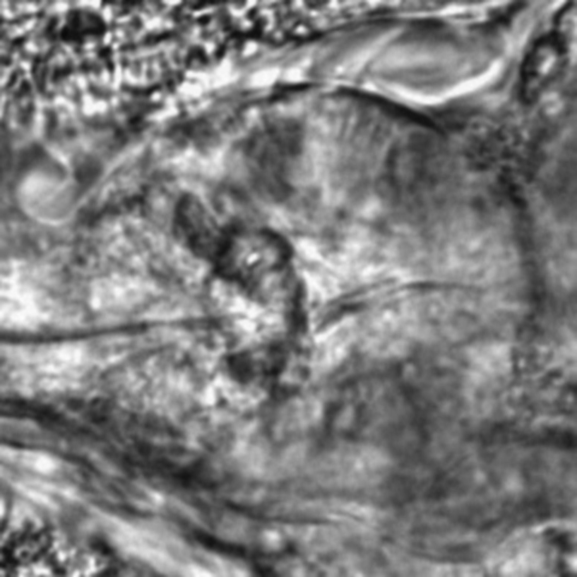 Caenorhabditis elegans - CIL:2688