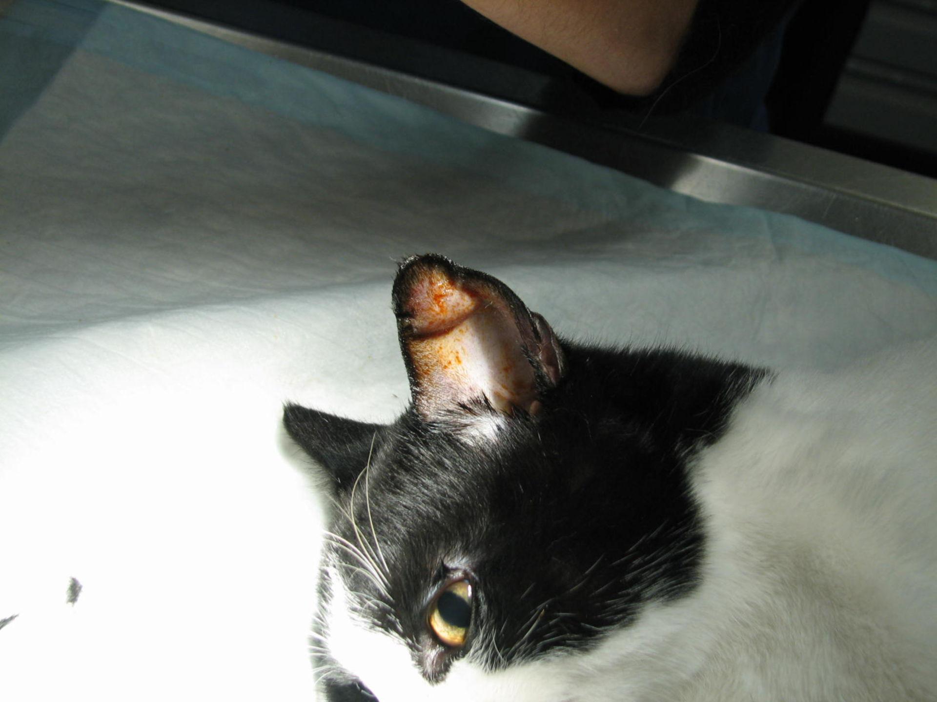 Othaematoma cat