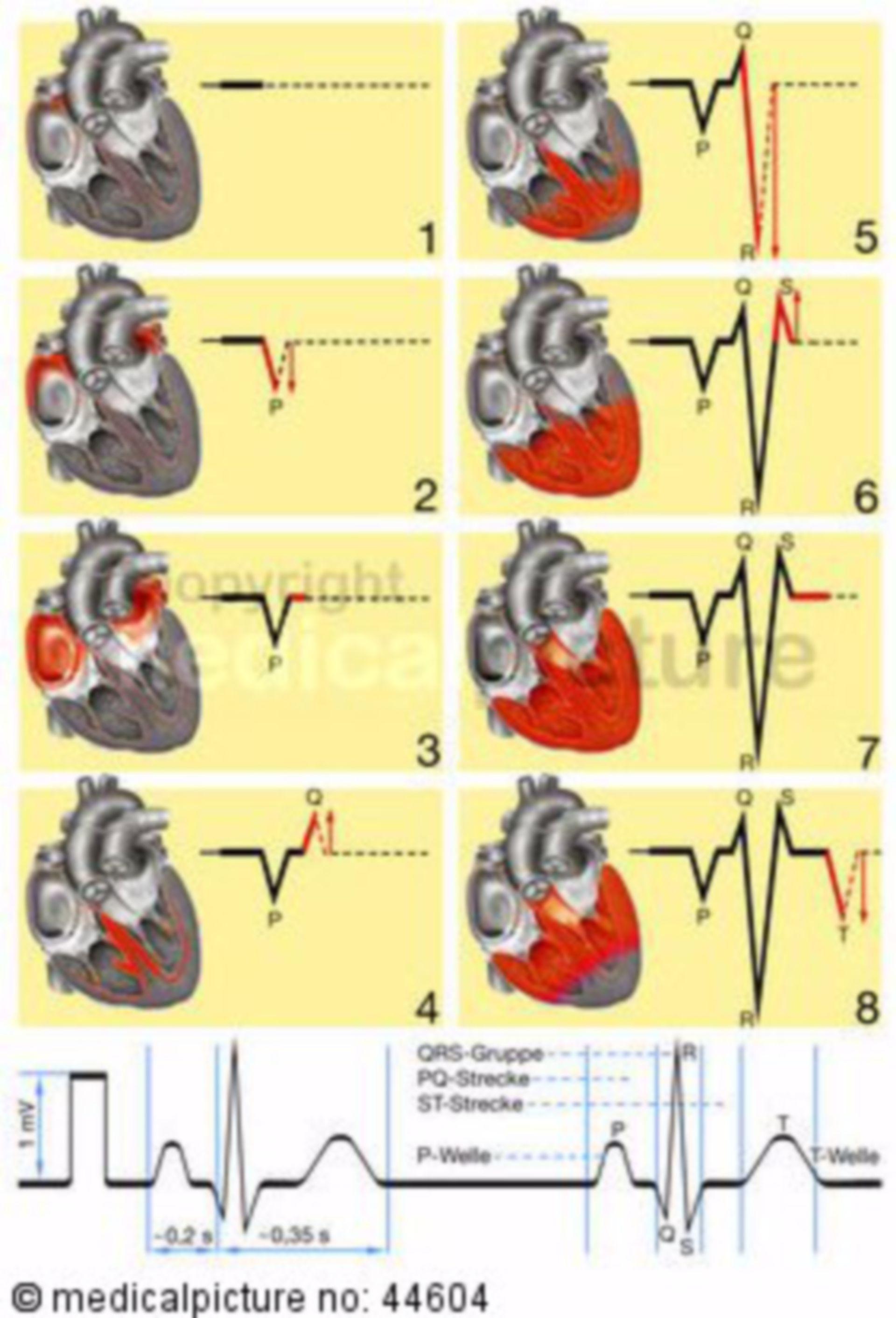 Electrophysiology of the exitation transmission