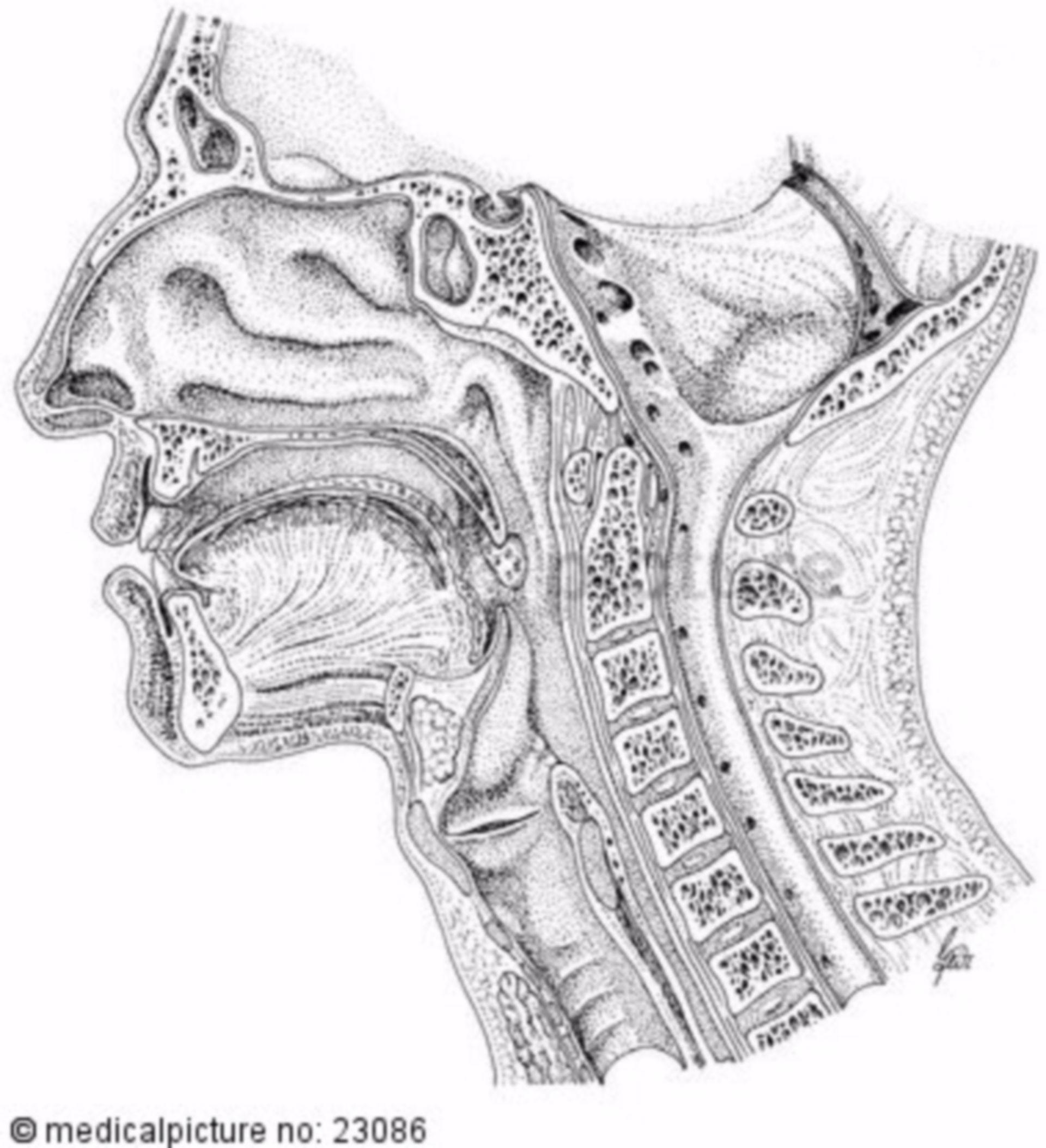 Sagittal cut, head
