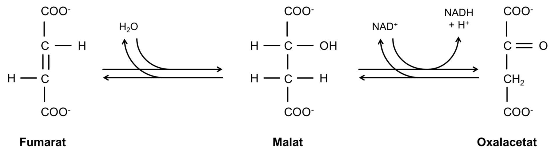 Reacción de fumarato via malato a oxalacetato