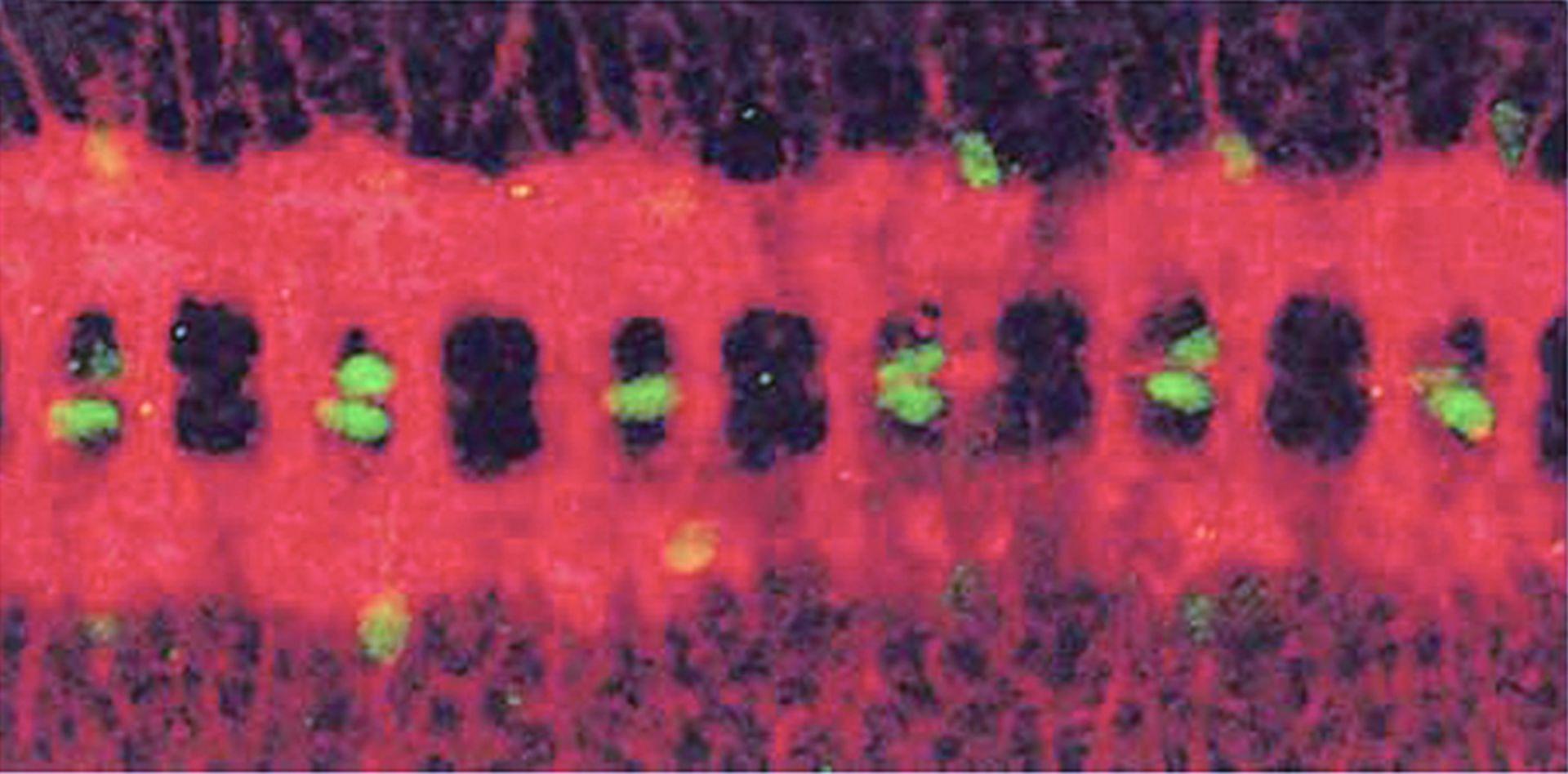 Drosophila melanogaster (Glial cell) - CIL:217