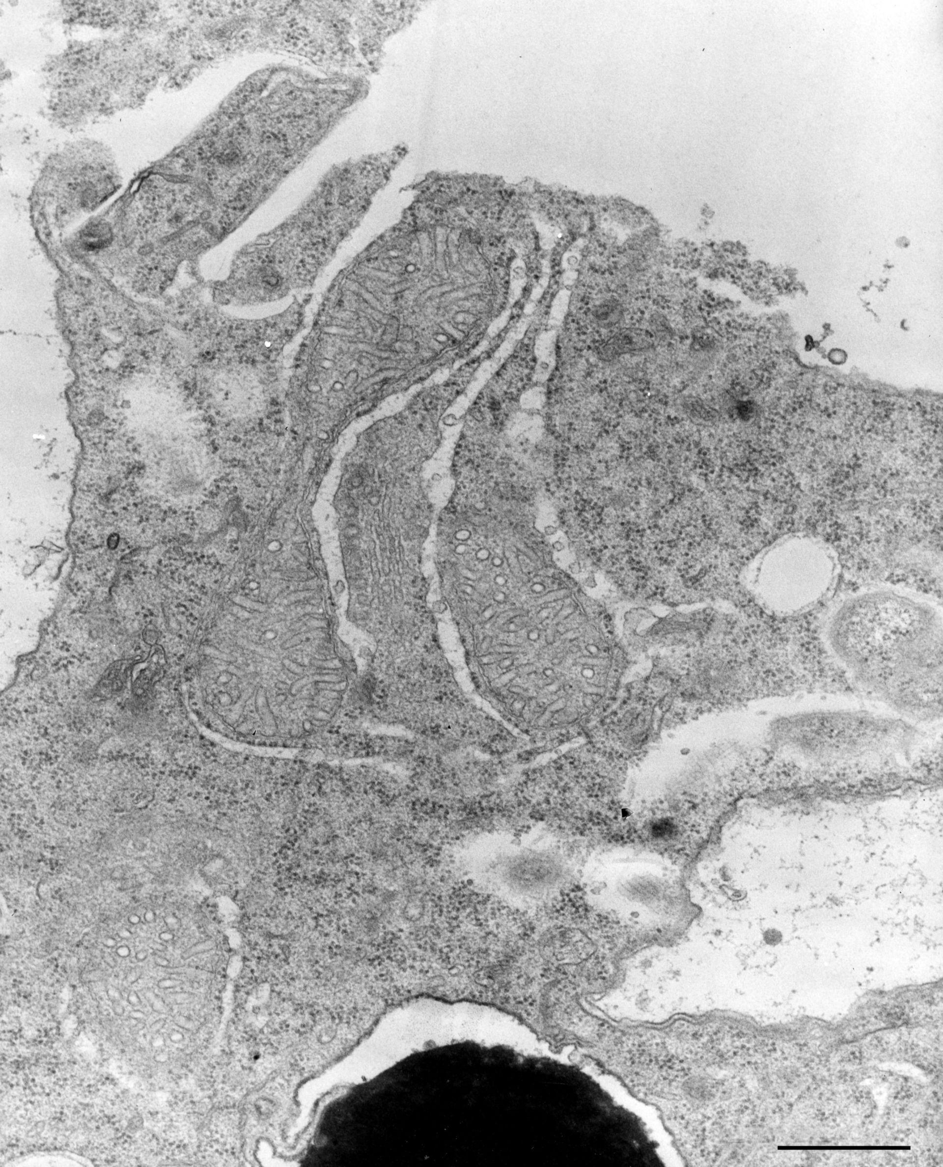 Nassula (Endoplasmic reticulum) - CIL:12306