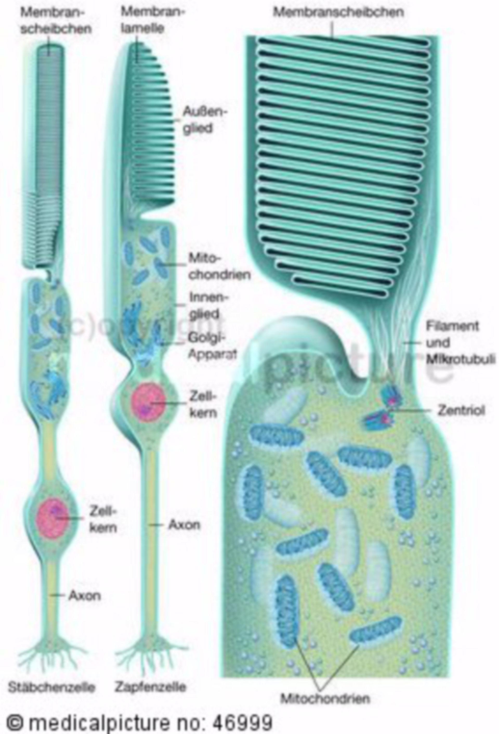 Photorezeptoren der Netzhaut