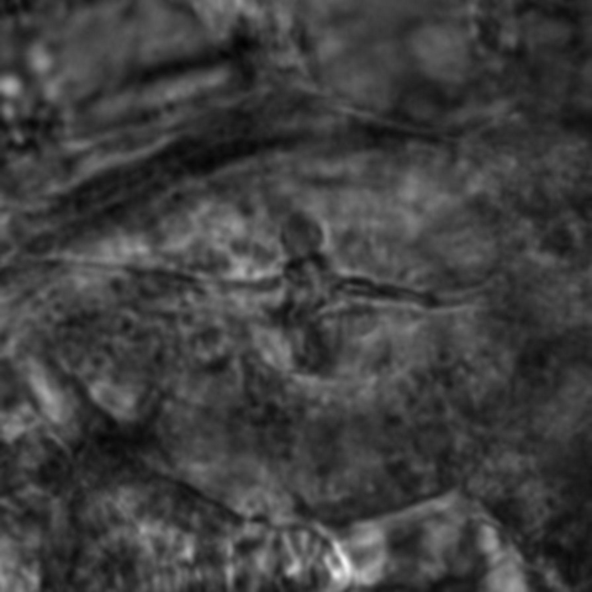 Caenorhabditis elegans - CIL:2744