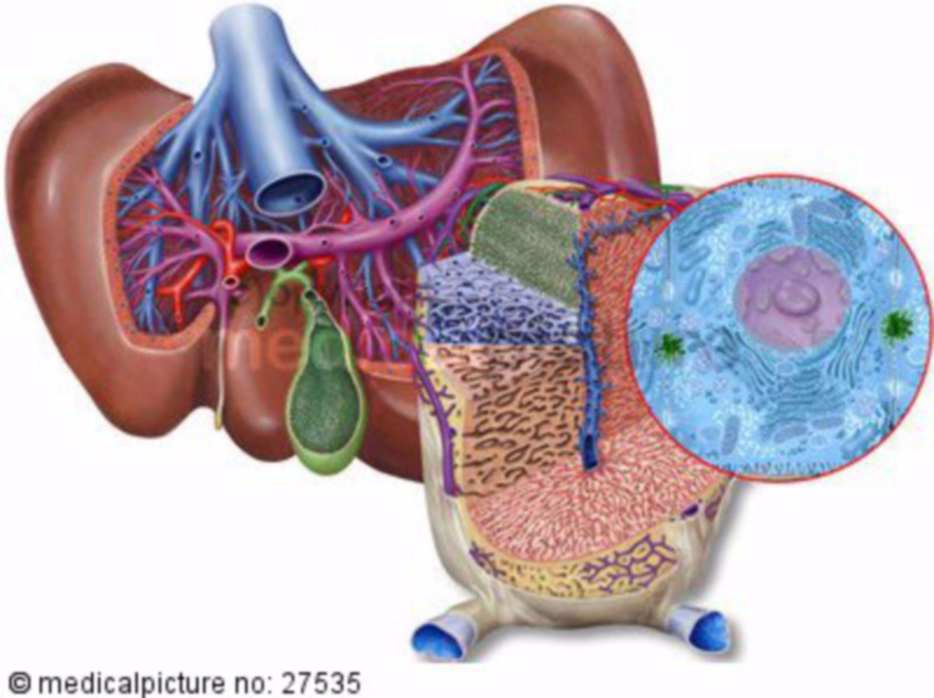 Liver lobule with hepatocytes
