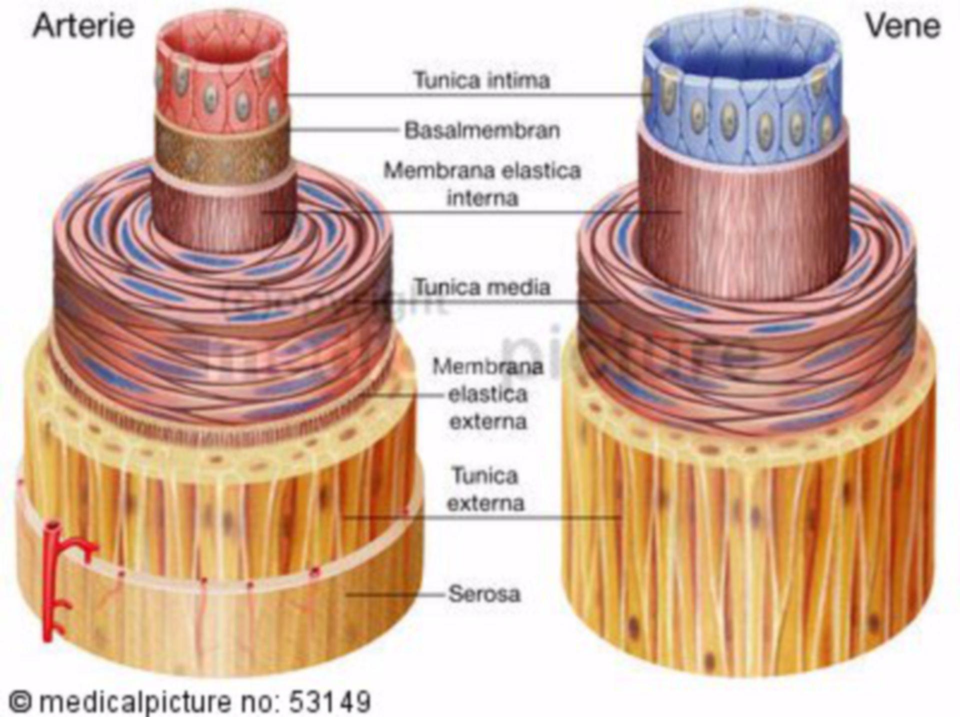 Arteria e vena, la costruzione del vaso