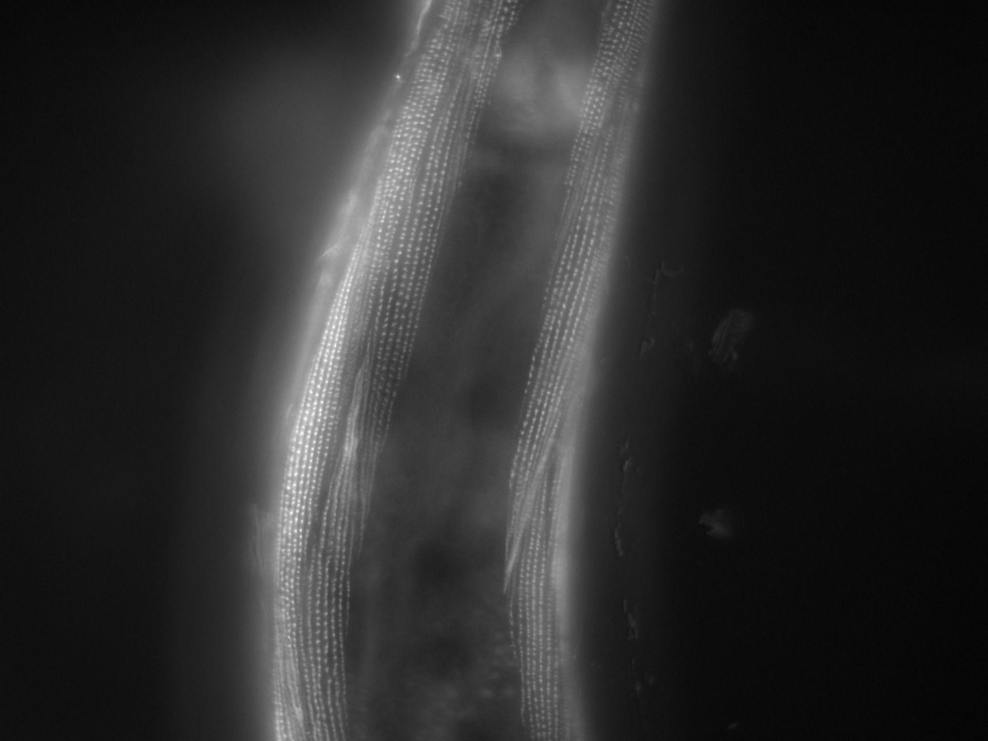 Caenorhabditis elegans (filamento di actina) - CIL:1166