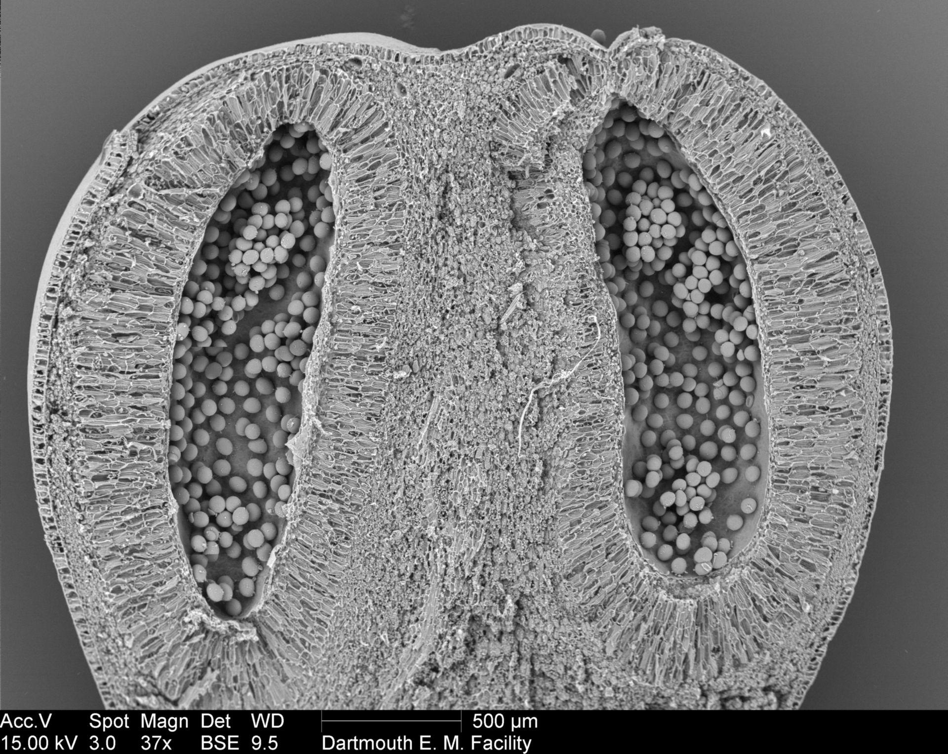 Amorphophallus titanum (Pollen wall) - CIL:39377