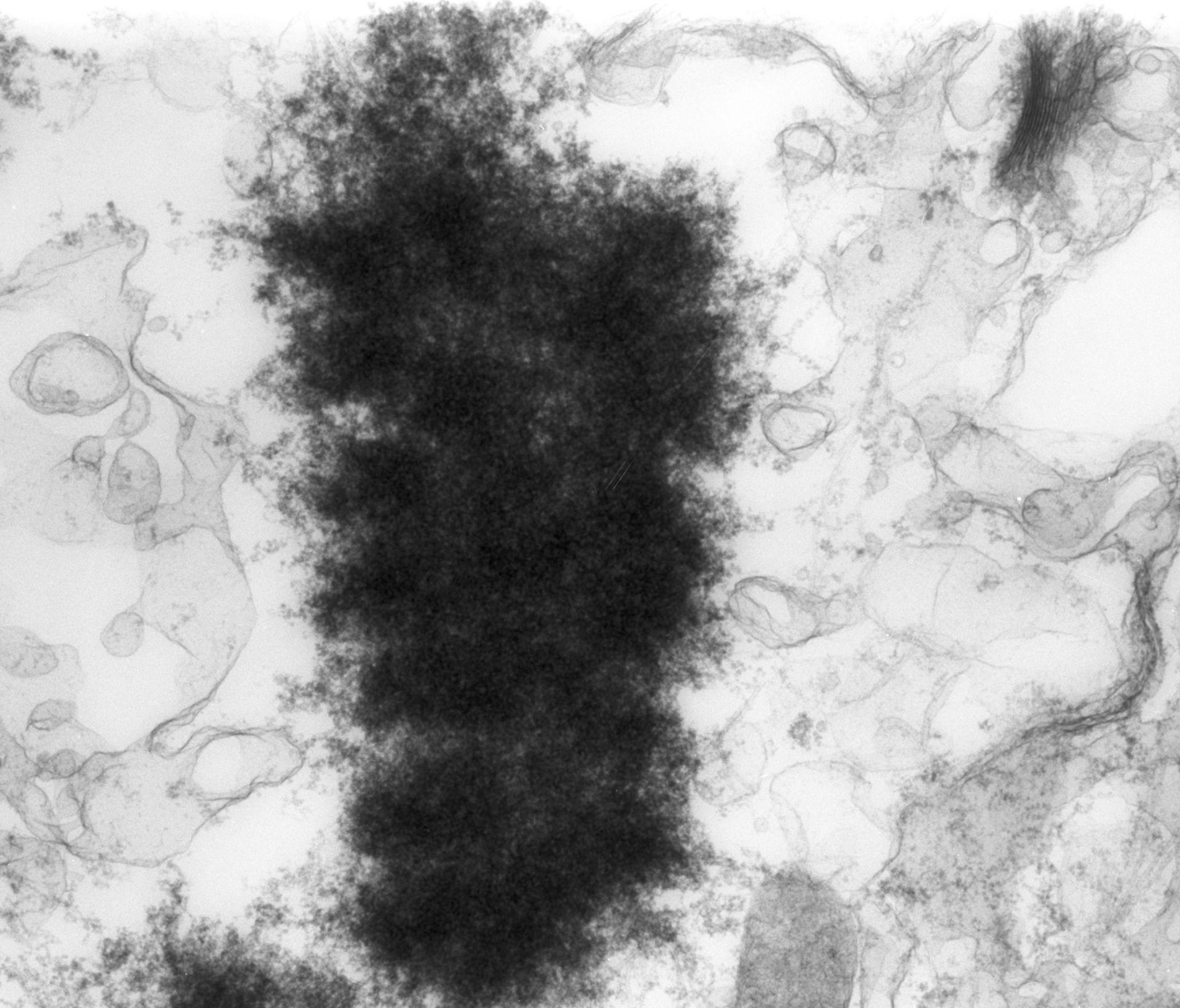 Haemanthus katharinae (Nuclear chromosome) - CIL:11903