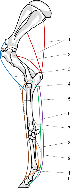 Spannbandapparat (Pfd., Lateralansicht)