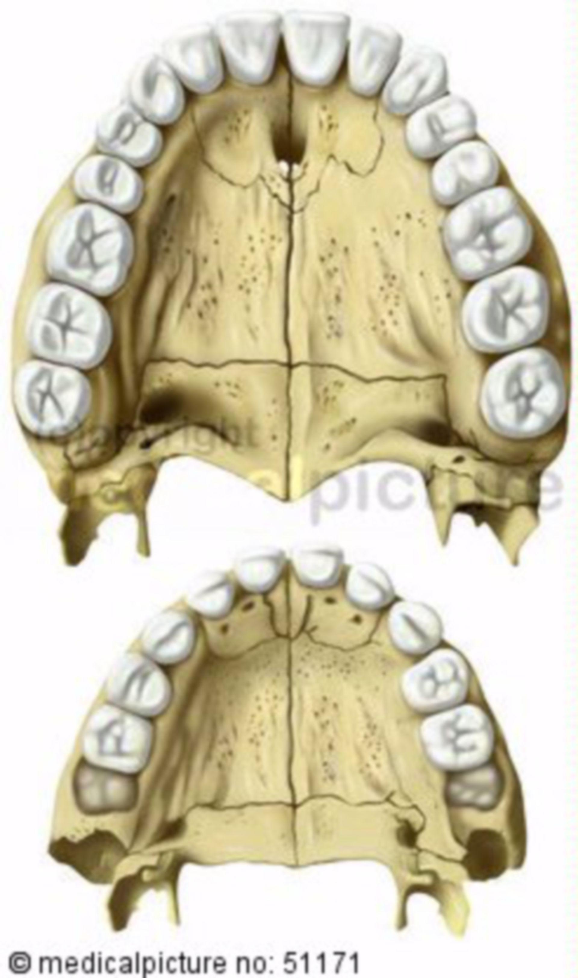 Obere Zahnreihe und Gaumen Erwachsener/Kind