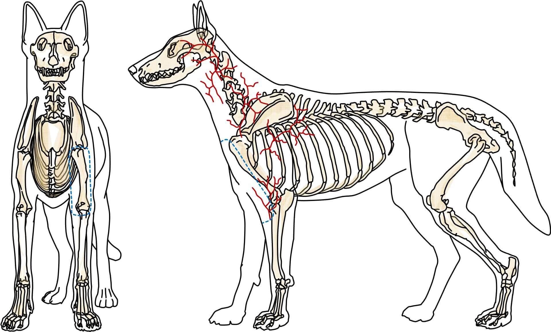 Arterienlappen der Arteria brachialis superficialis (Hund)