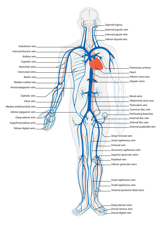 Circulación sanguínea: sistema venoso (ilustración)