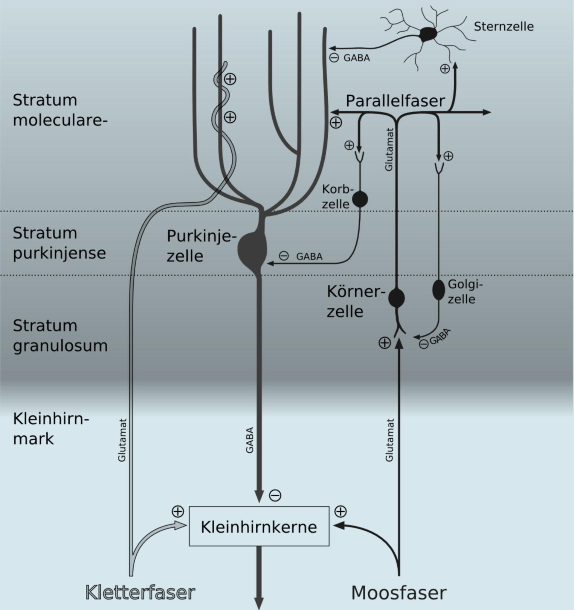 Diagramm der zerebellären Verschaltung