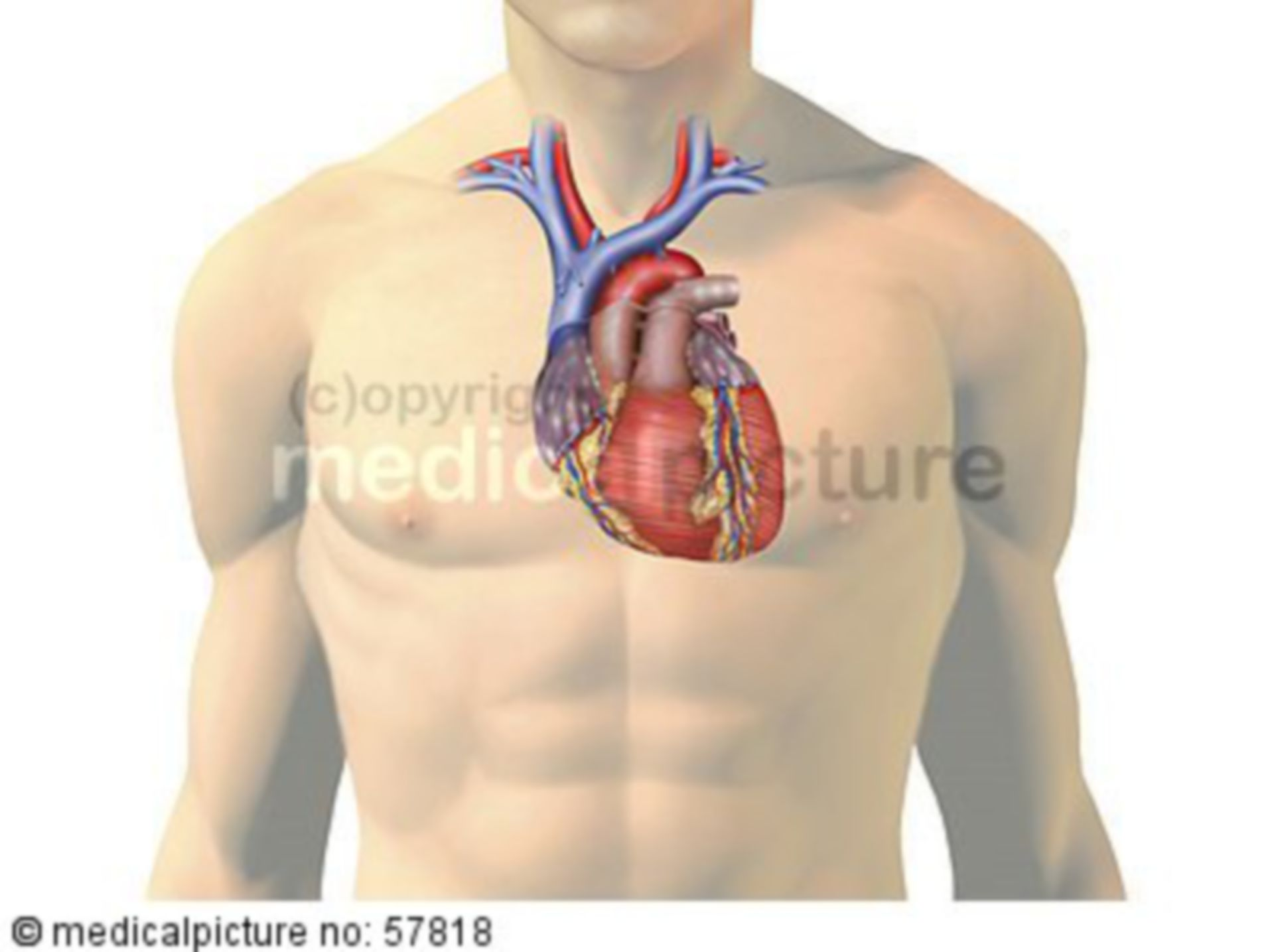Anatomische Illustrationen - Herz mit Gefäßen