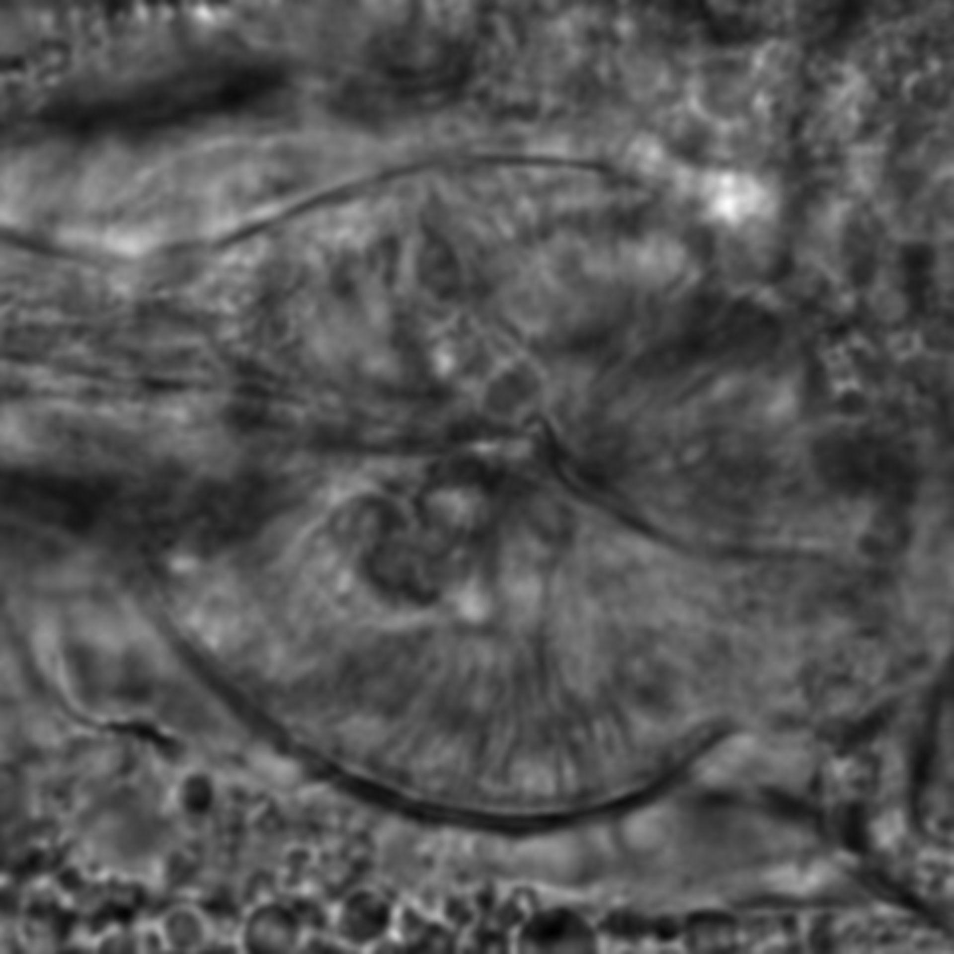 Caenorhabditis elegans - CIL:2205