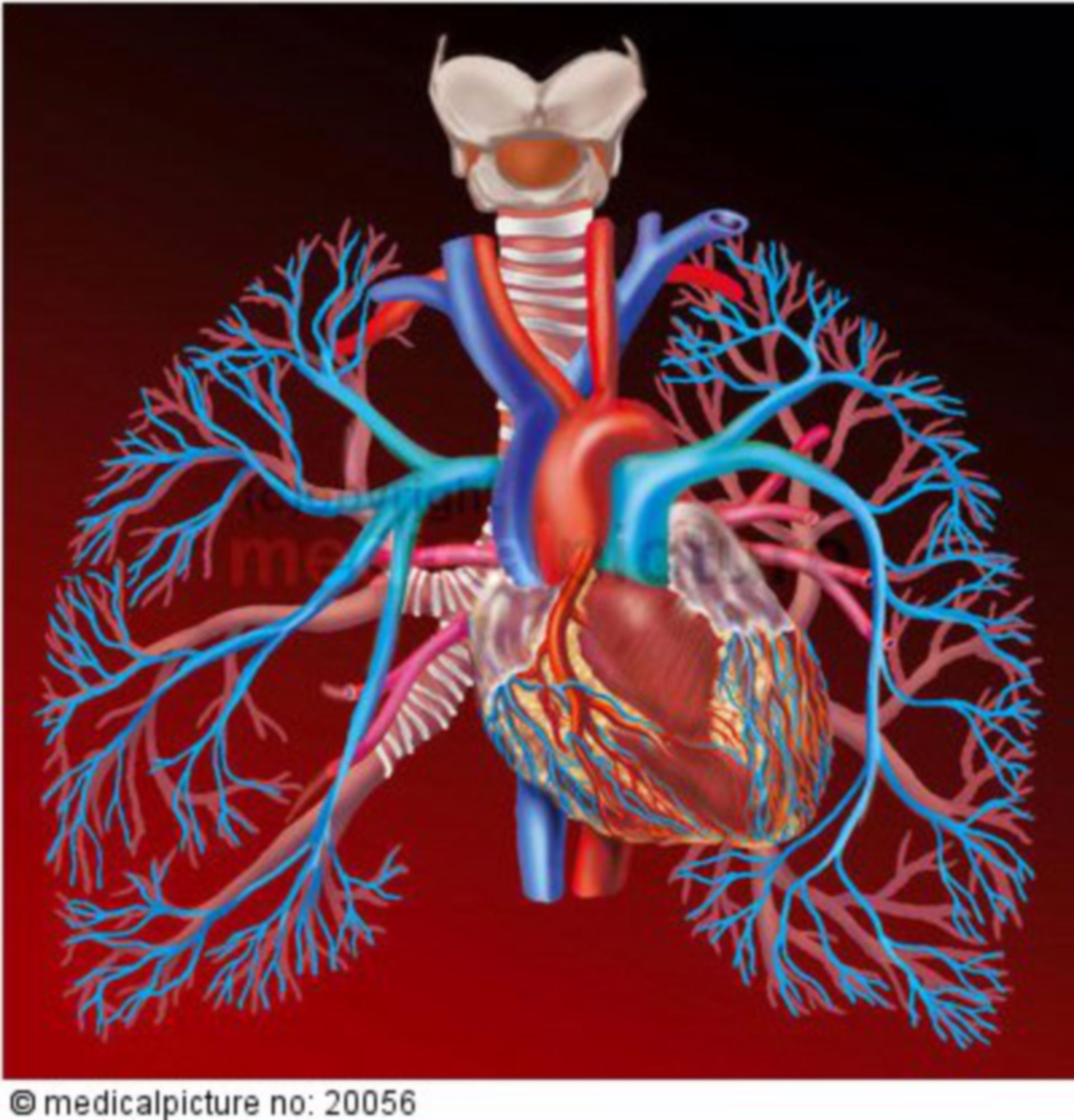 Herz-Lungen-Kreislauf