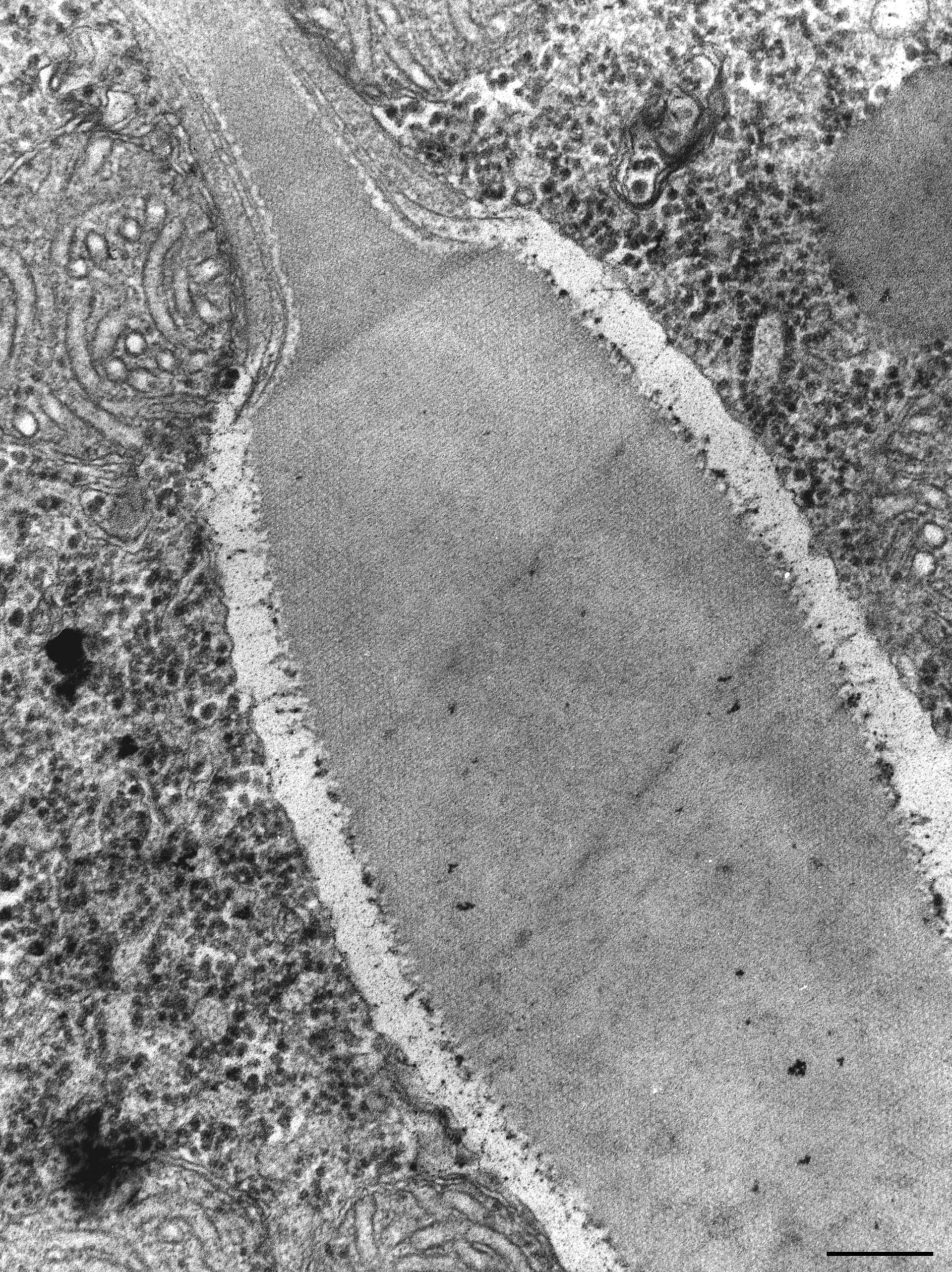 Paramecium caudatum (Organelle membrane) - CIL:36772