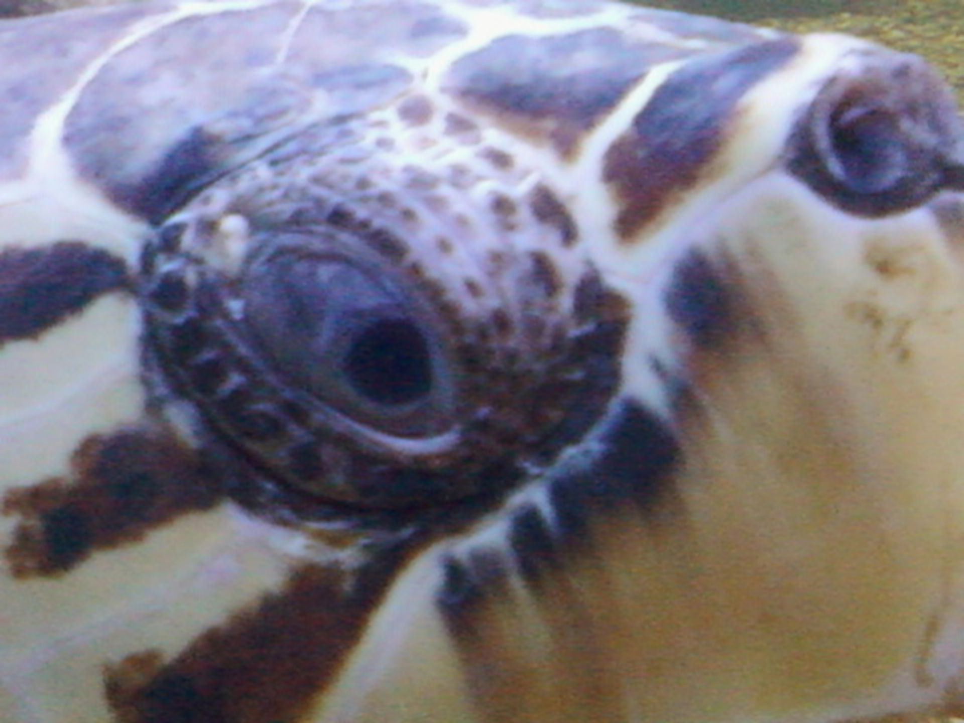 Konjunktiva-Verletzung Karettschildkröte