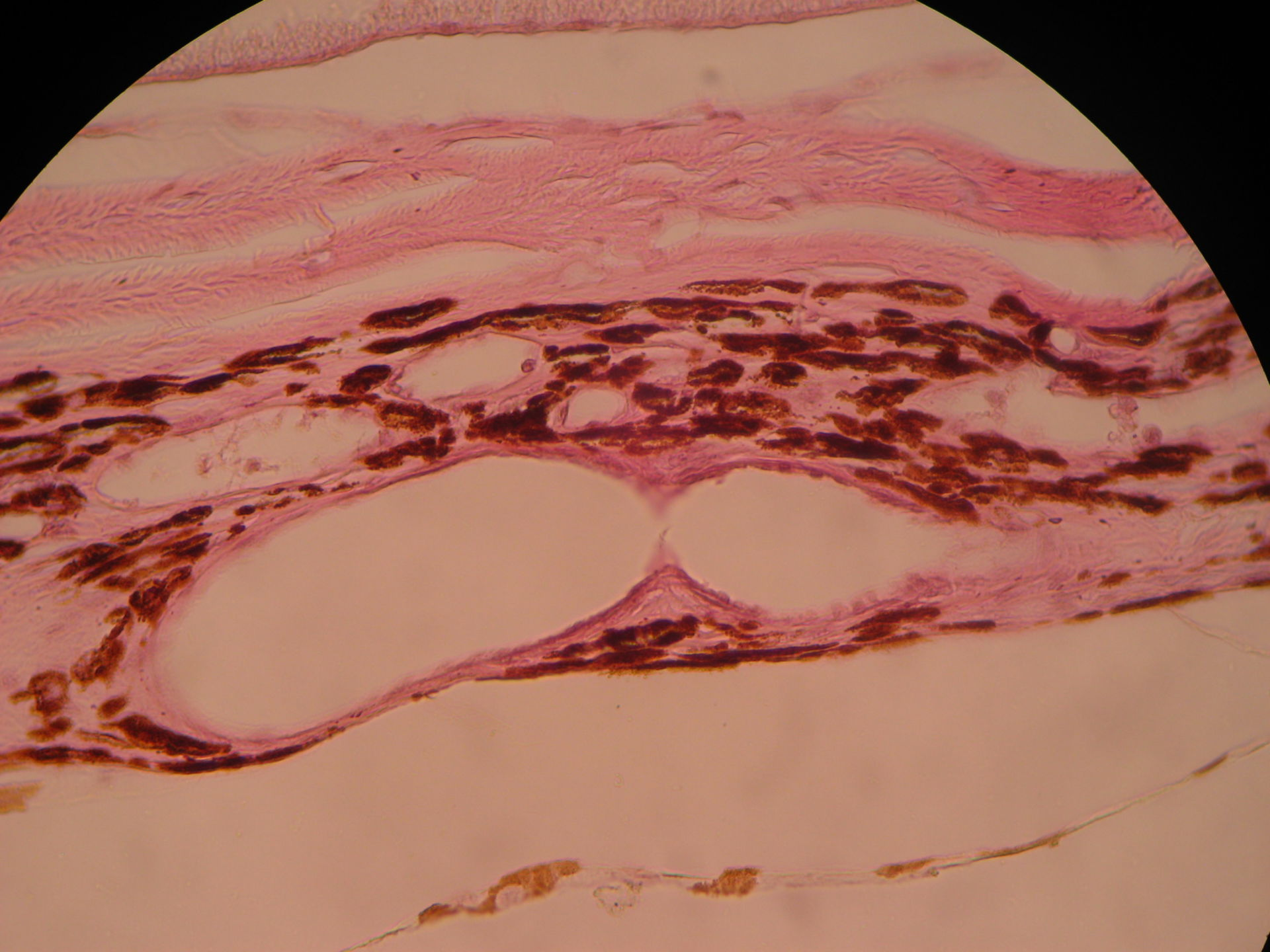 Eye of the sheep - vascular layer