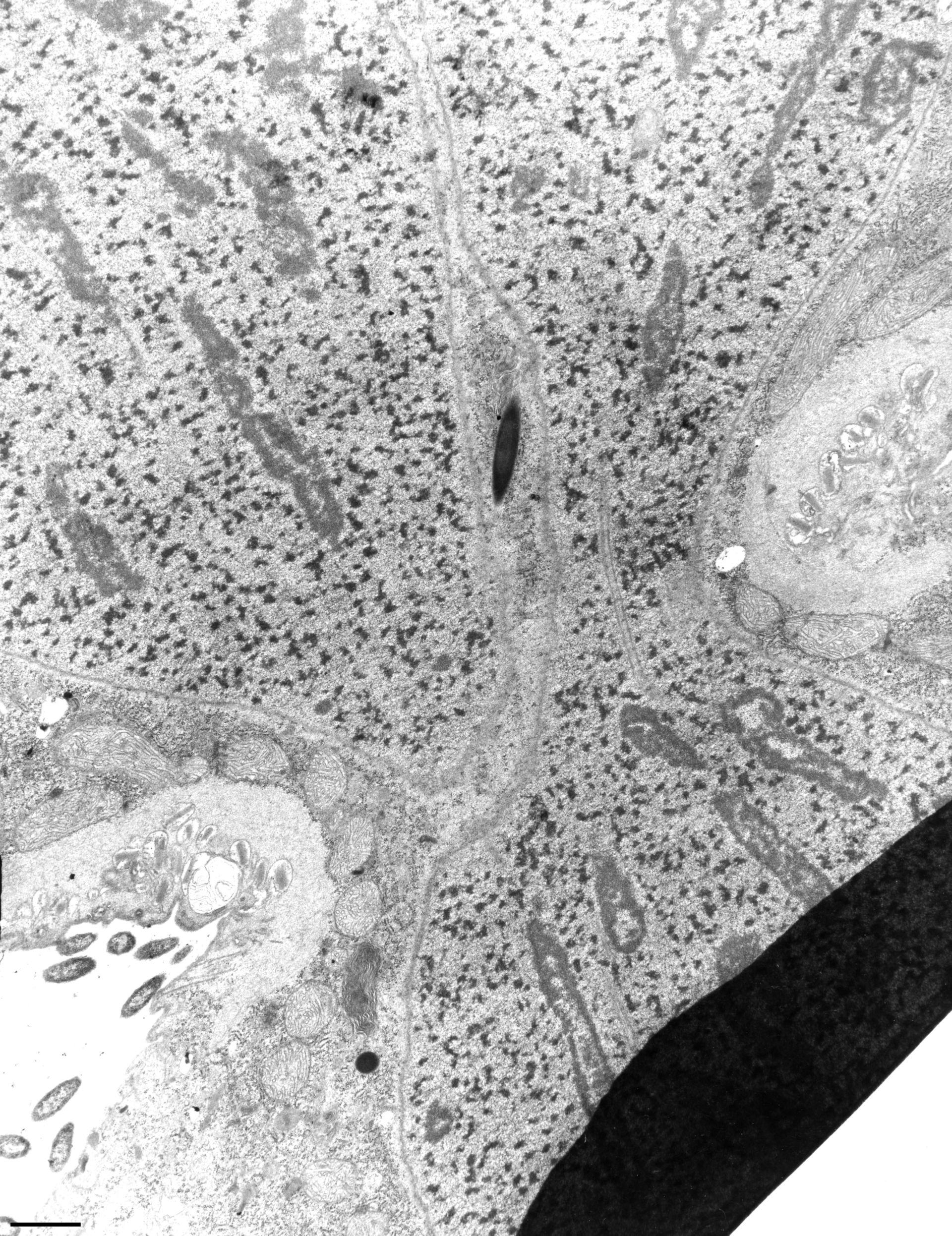 Didinium nasutum (Nucleolar chromatin) - CIL:12303