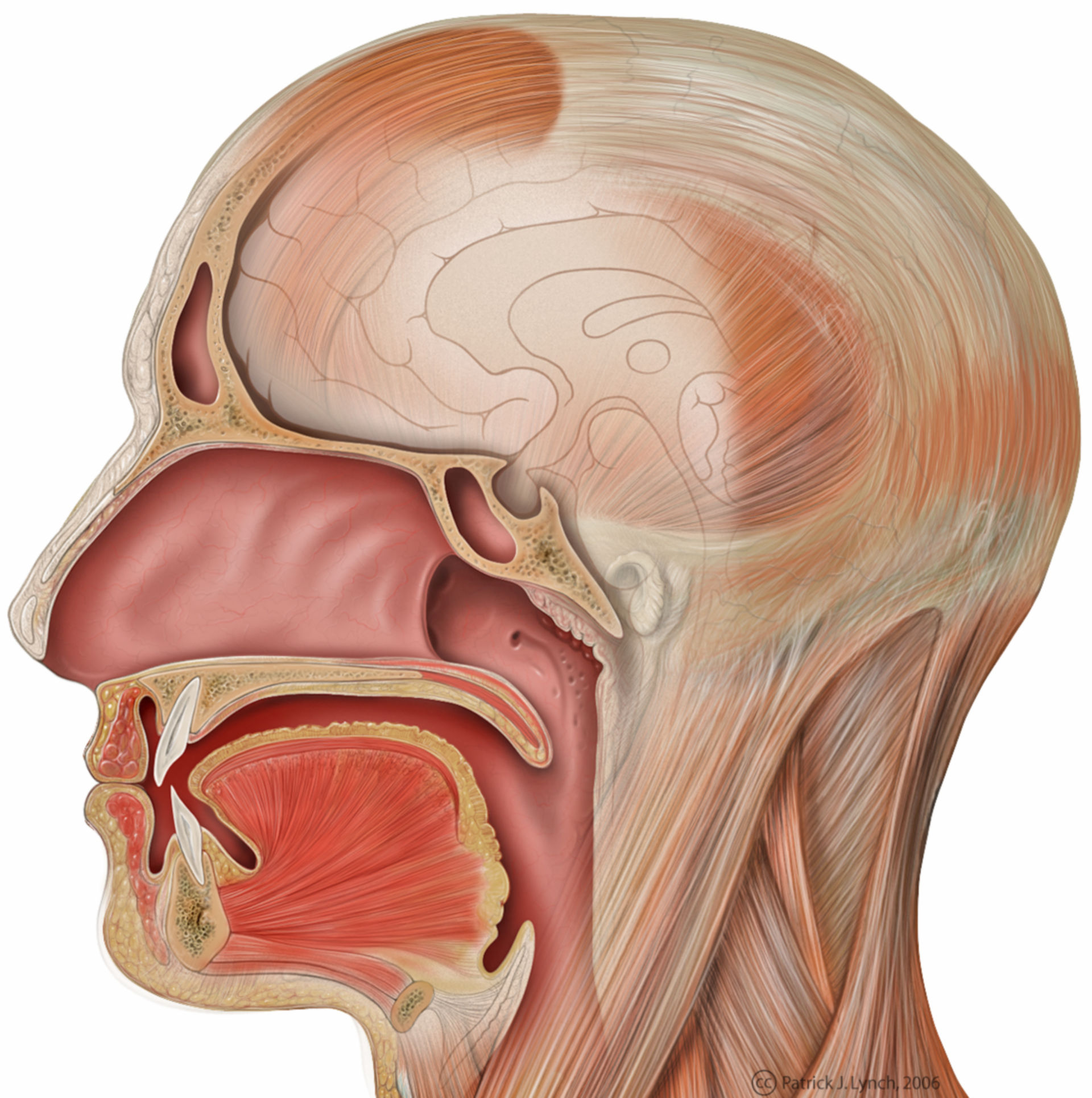 Head lateral view with sagittal mouth anatomy