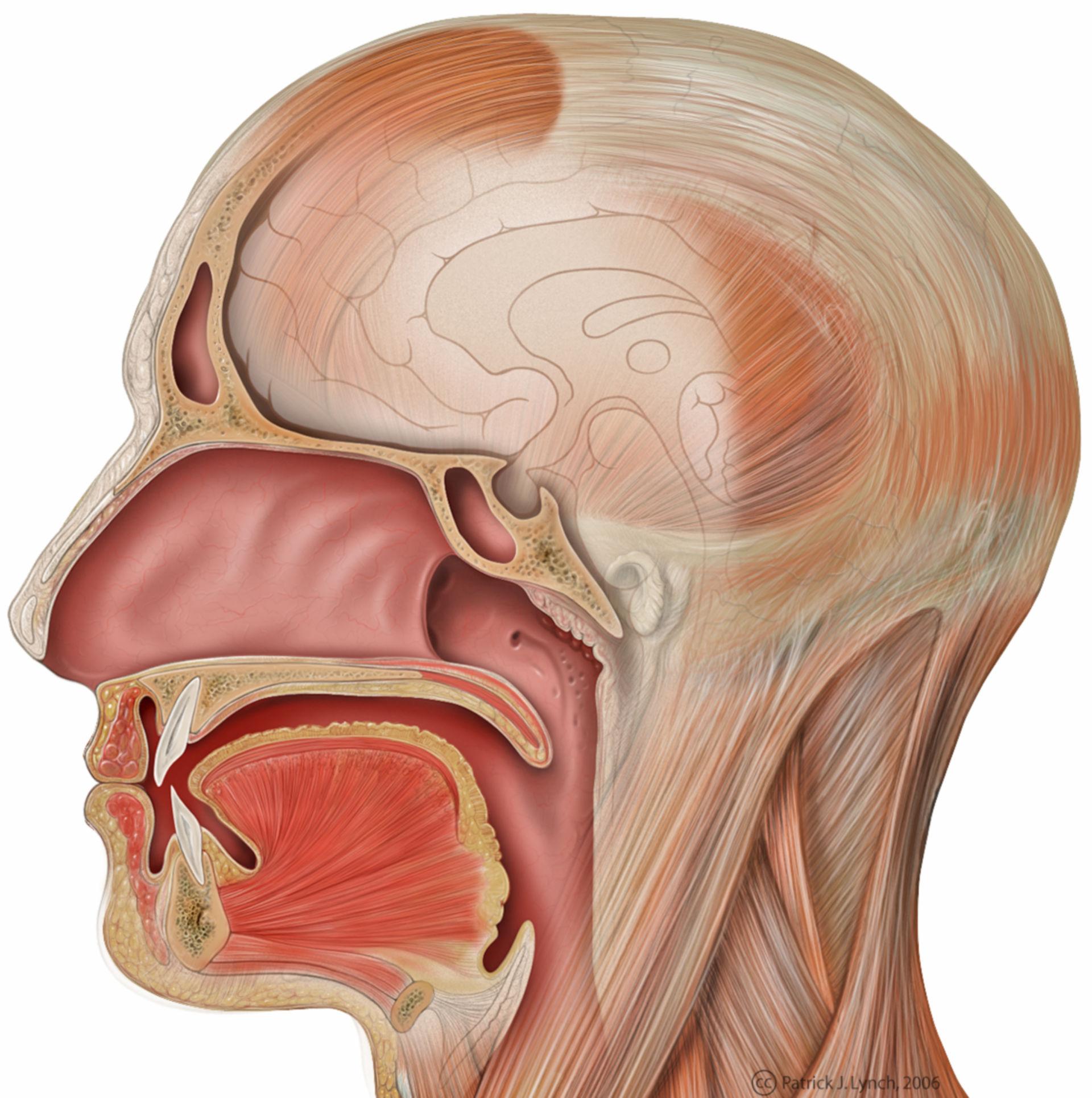 Anatomia della testa