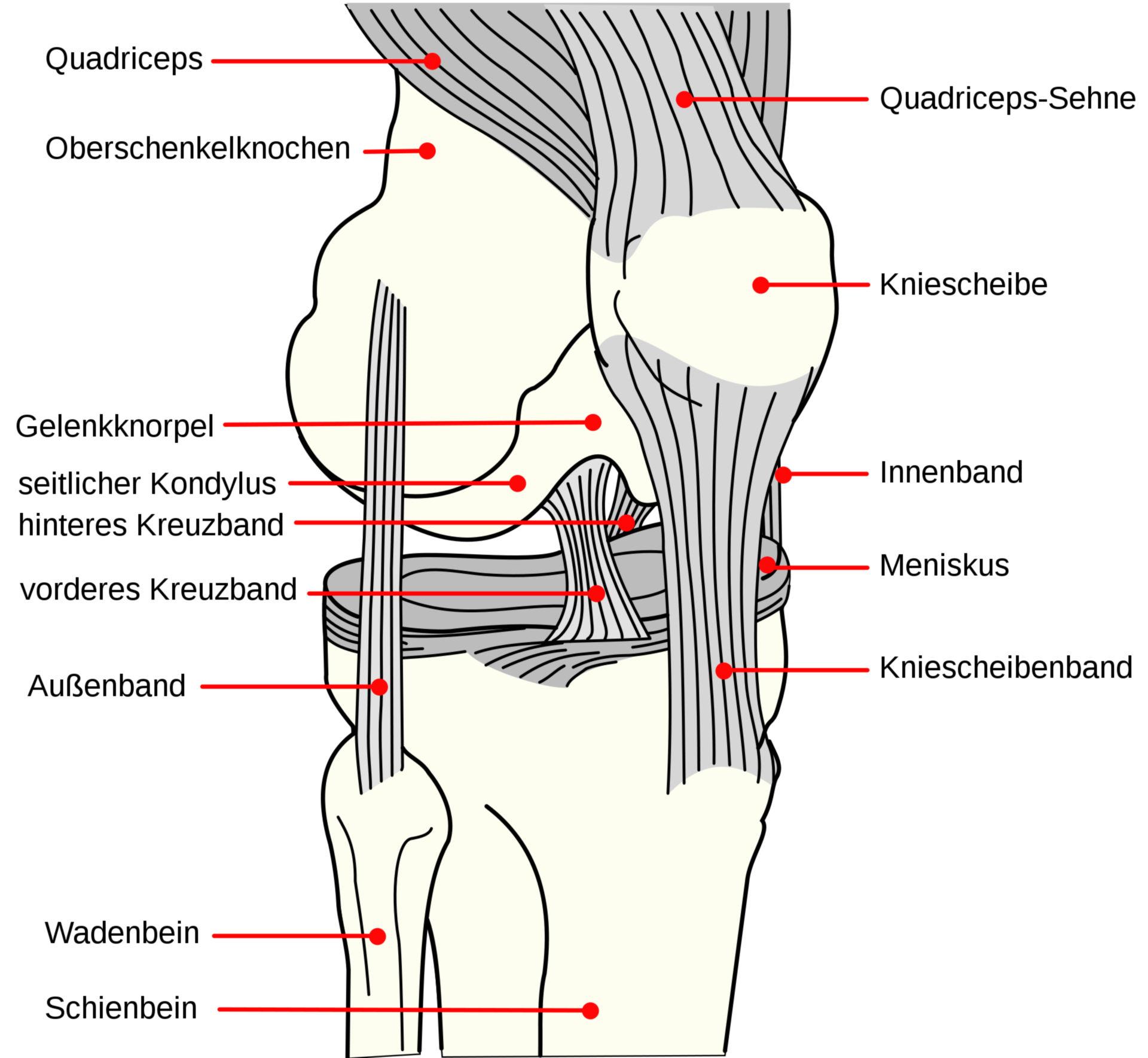 Bänder des rechten Kniegelenkes (Schema)