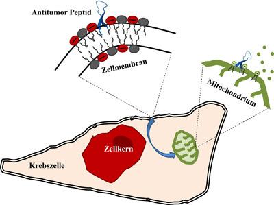 Das Antitumor-Peptid (blau) nimmt an der Krebszellmembran eine Haarnadel-Struktur ein, wird dann in die Zelle aufgenommen, interagiert mit Mitochondrien (grün) und löst den Tod der Zelle aus. © Uni Graz/Sabrina Riedl