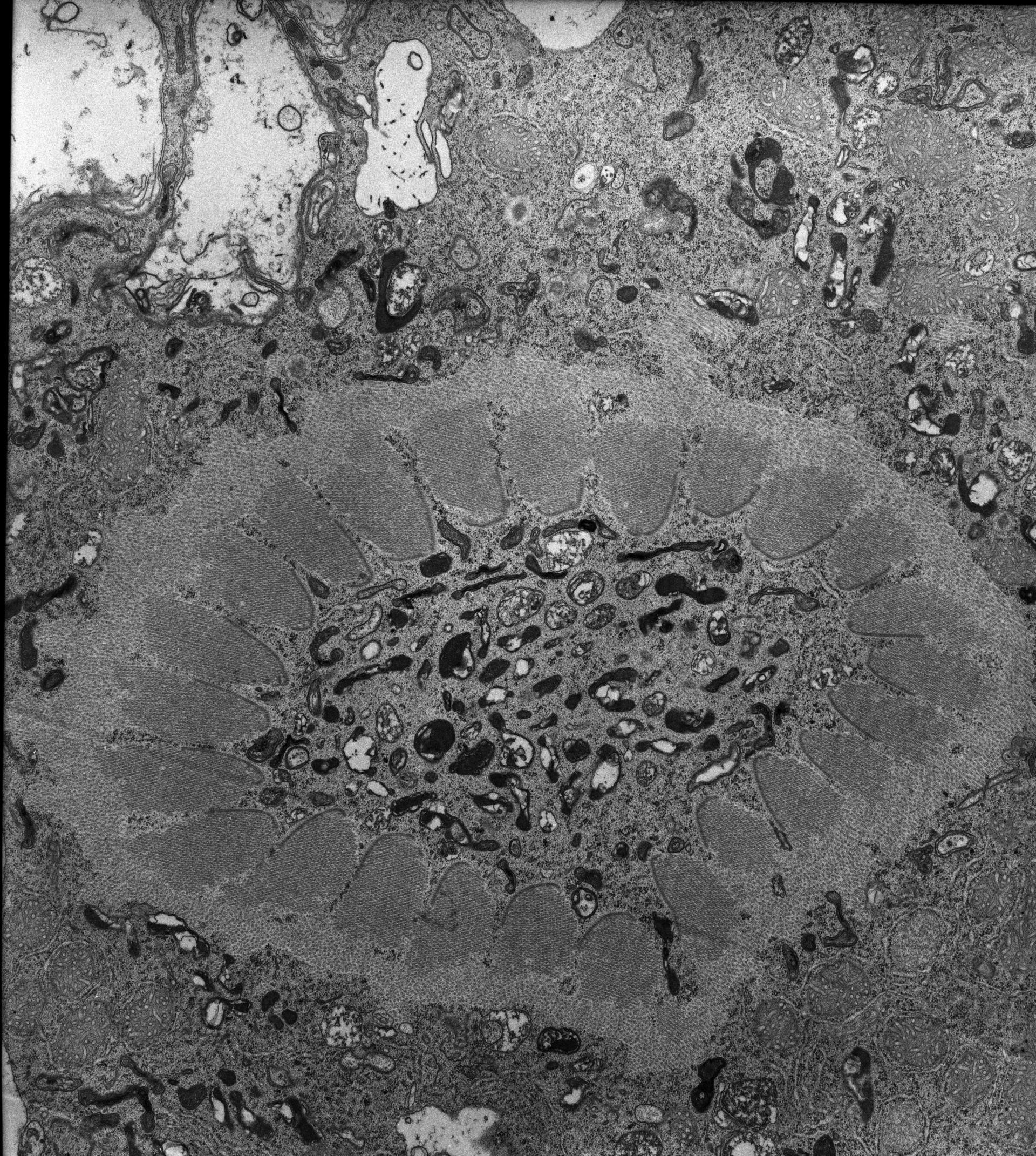 Nassula (complesso associato ai microtubuli) - CIL:7750
