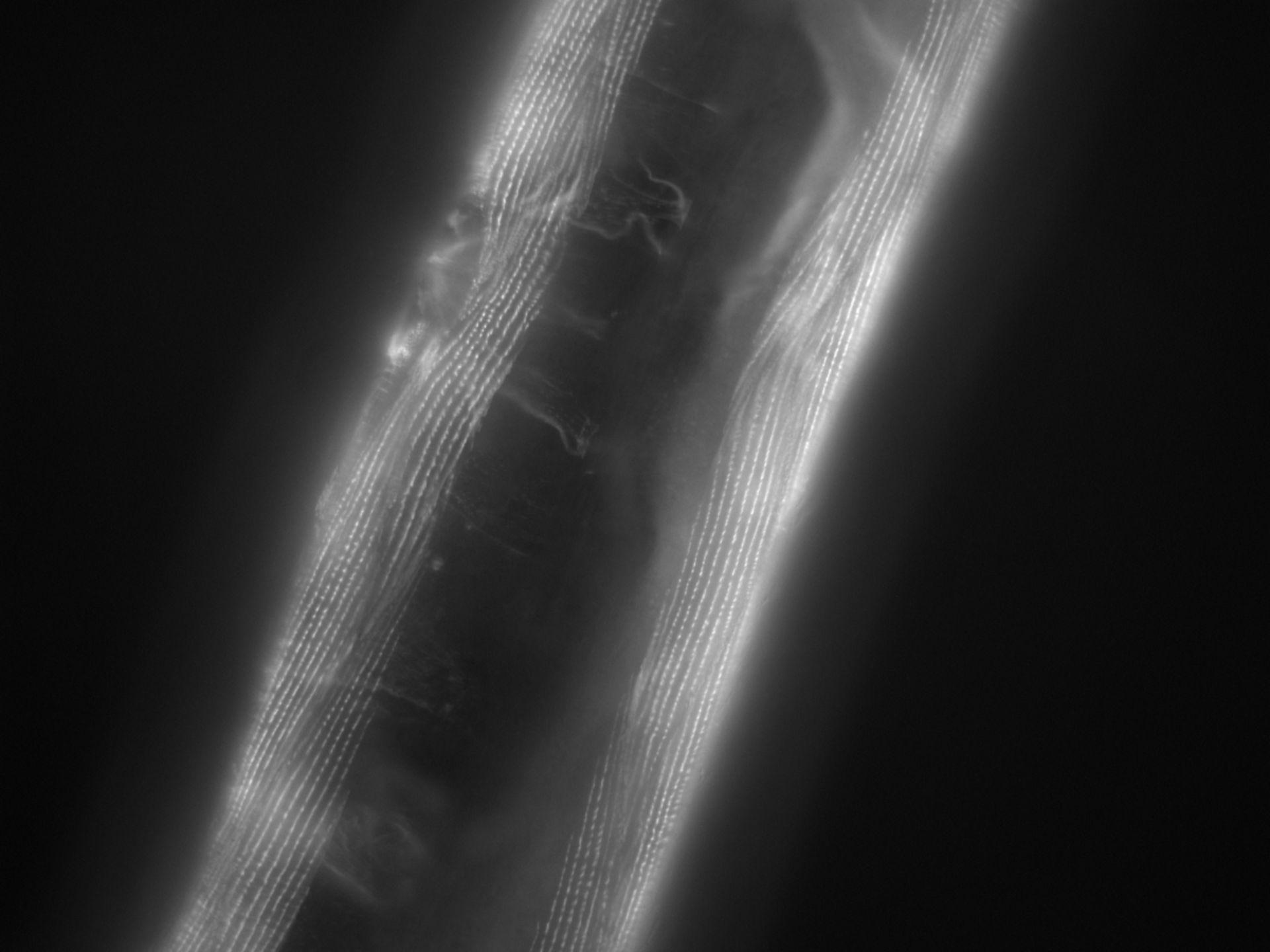 Caenorhabditis elegans (filamento di actina) - CIL:1194