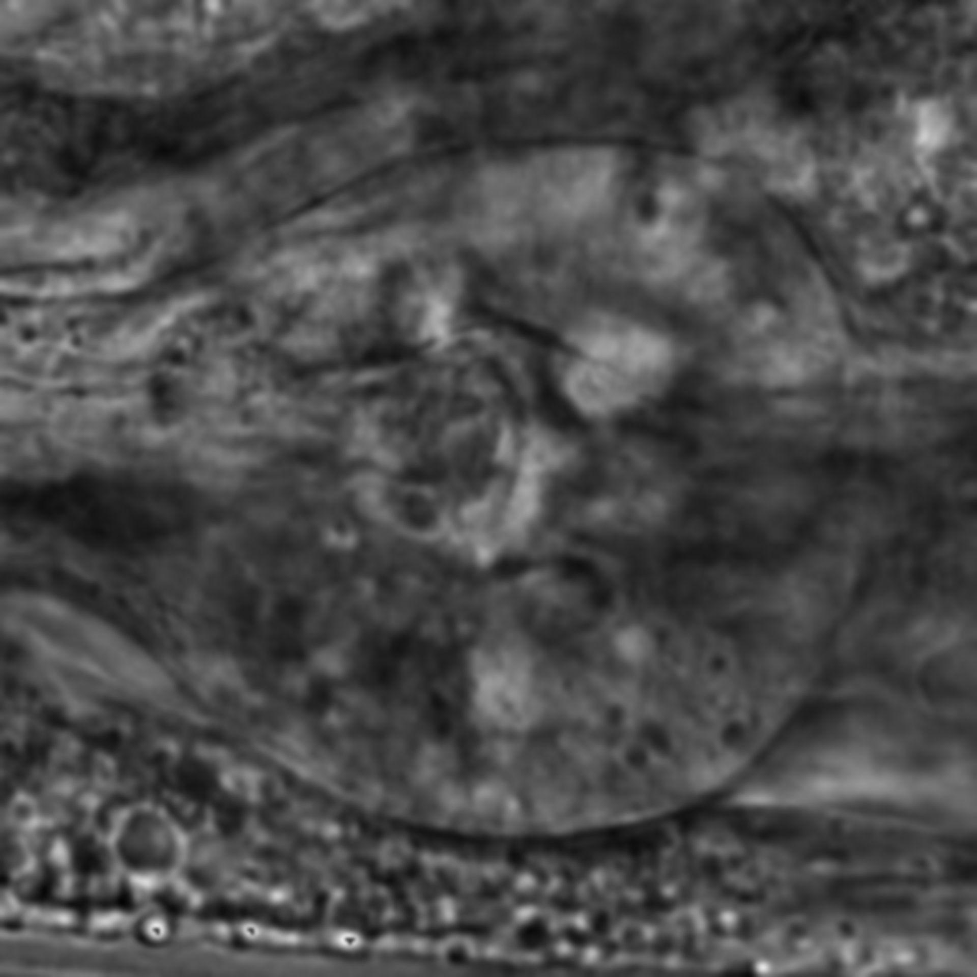 Caenorhabditis elegans - CIL:2670