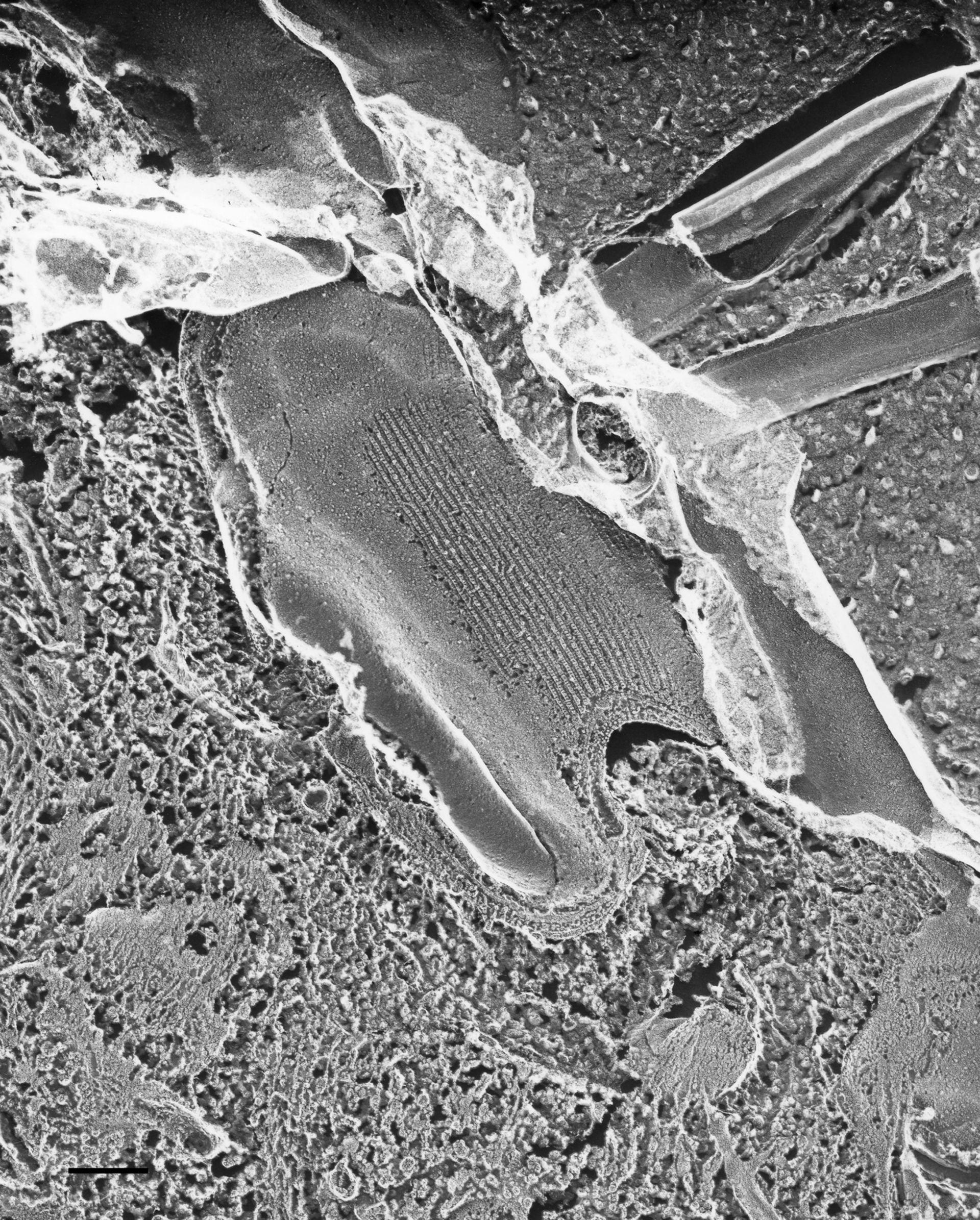 Paramecium multimicronucleatum (Plasma membrane) - CIL:36607