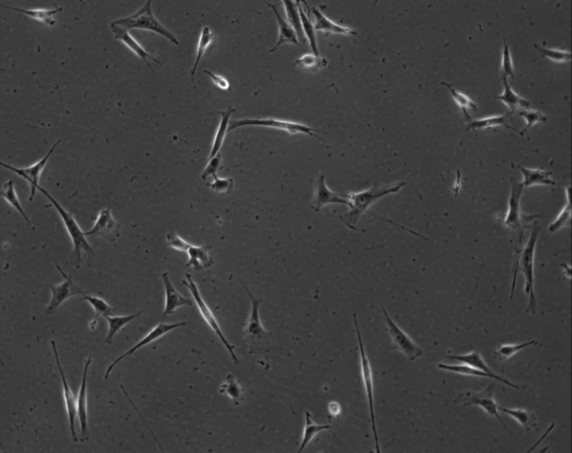 Mus musculus (Extracellular matrix part) - CIL:7908