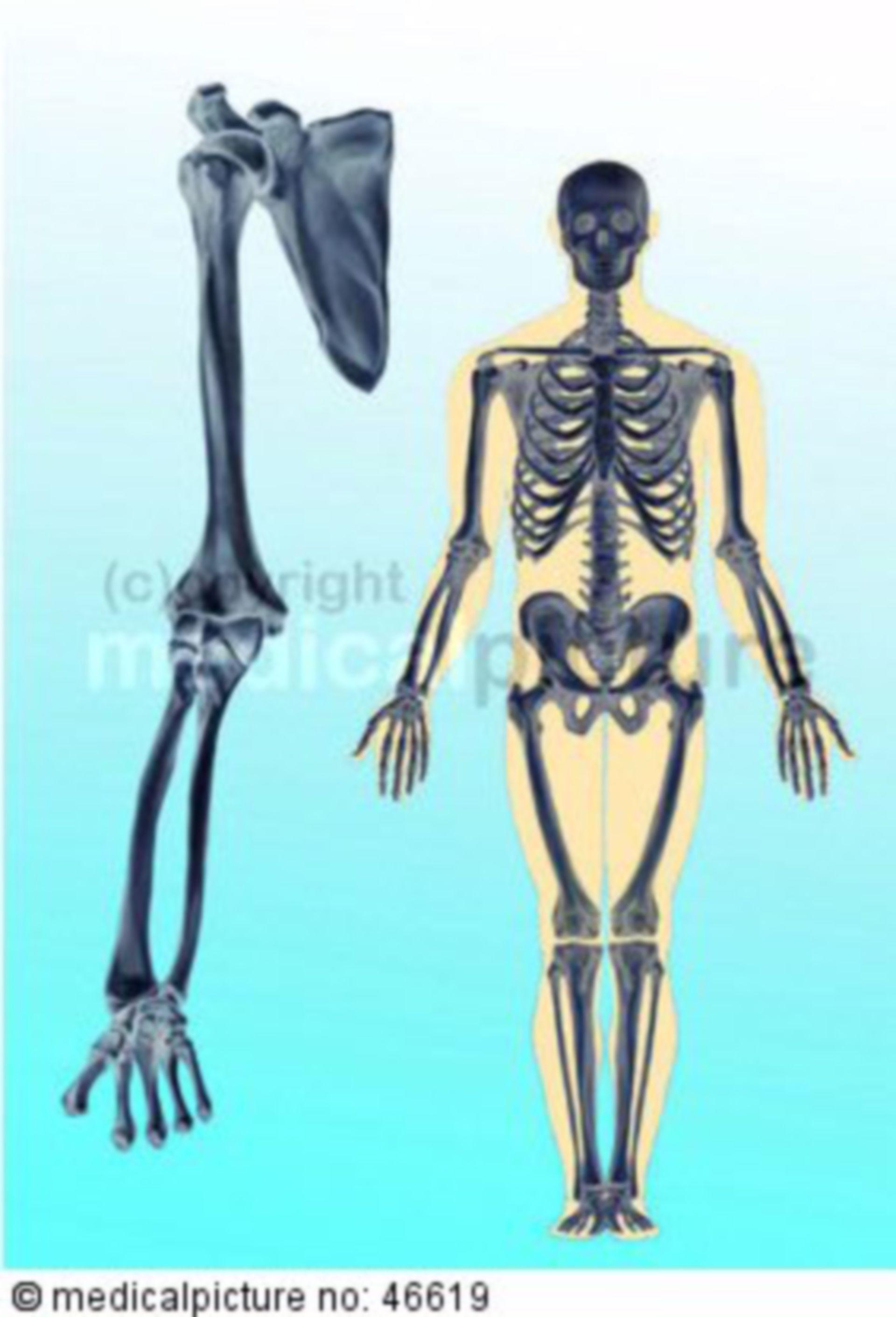 Human skeleton, upper limb