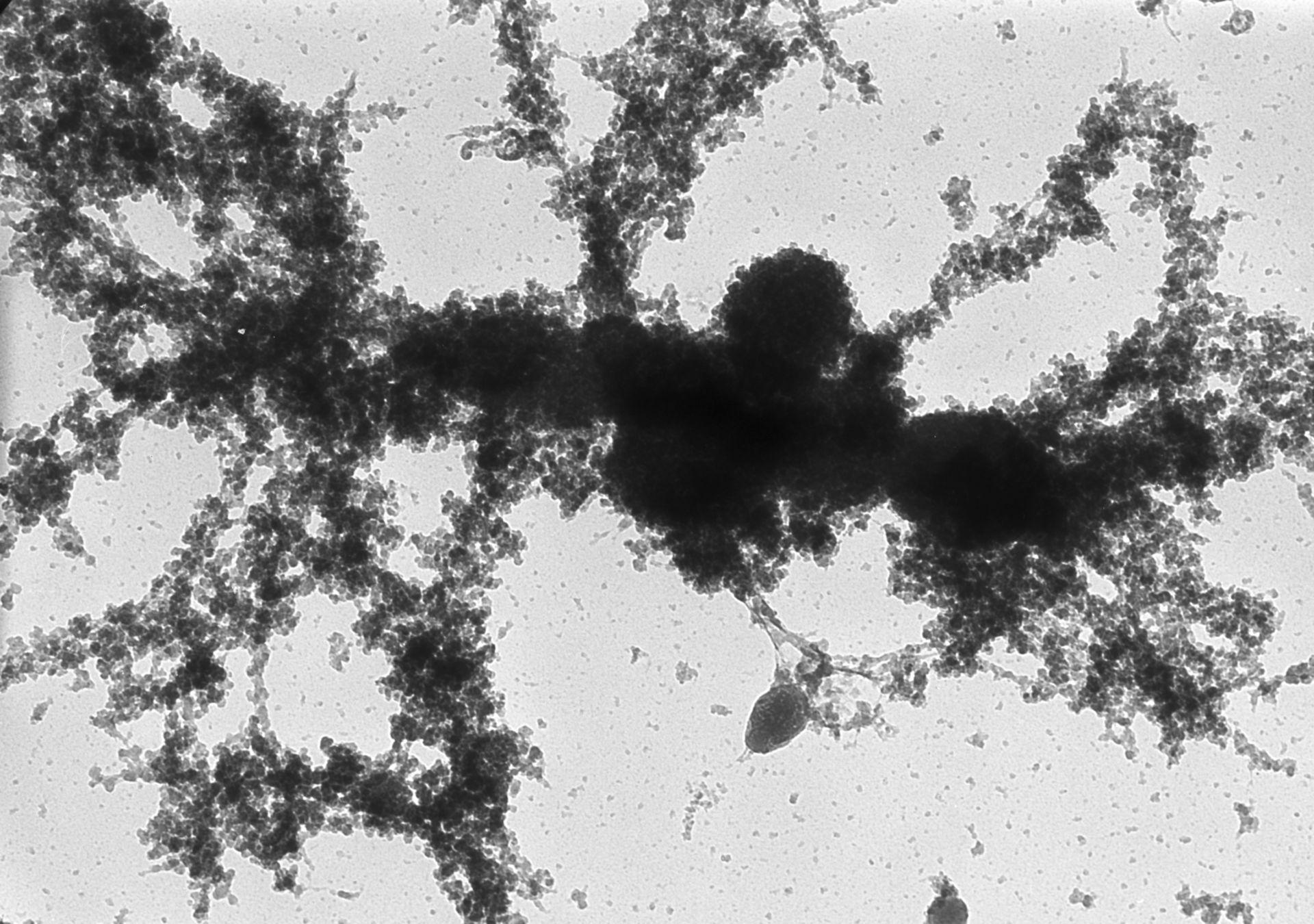 Notophthalmus viridescens (Lampbrush chromosomes) - CIL:10717