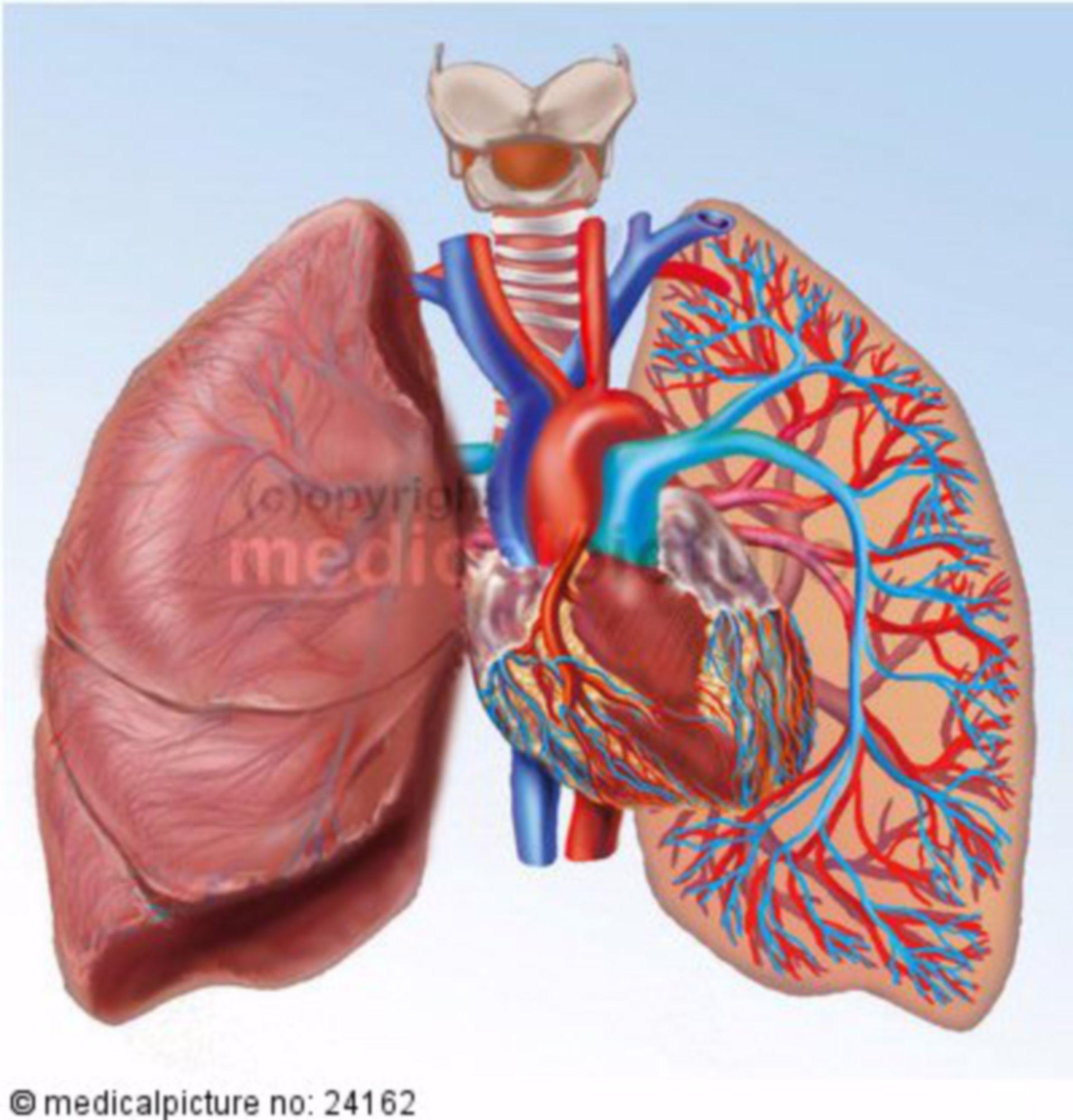 Heart-lung circulation