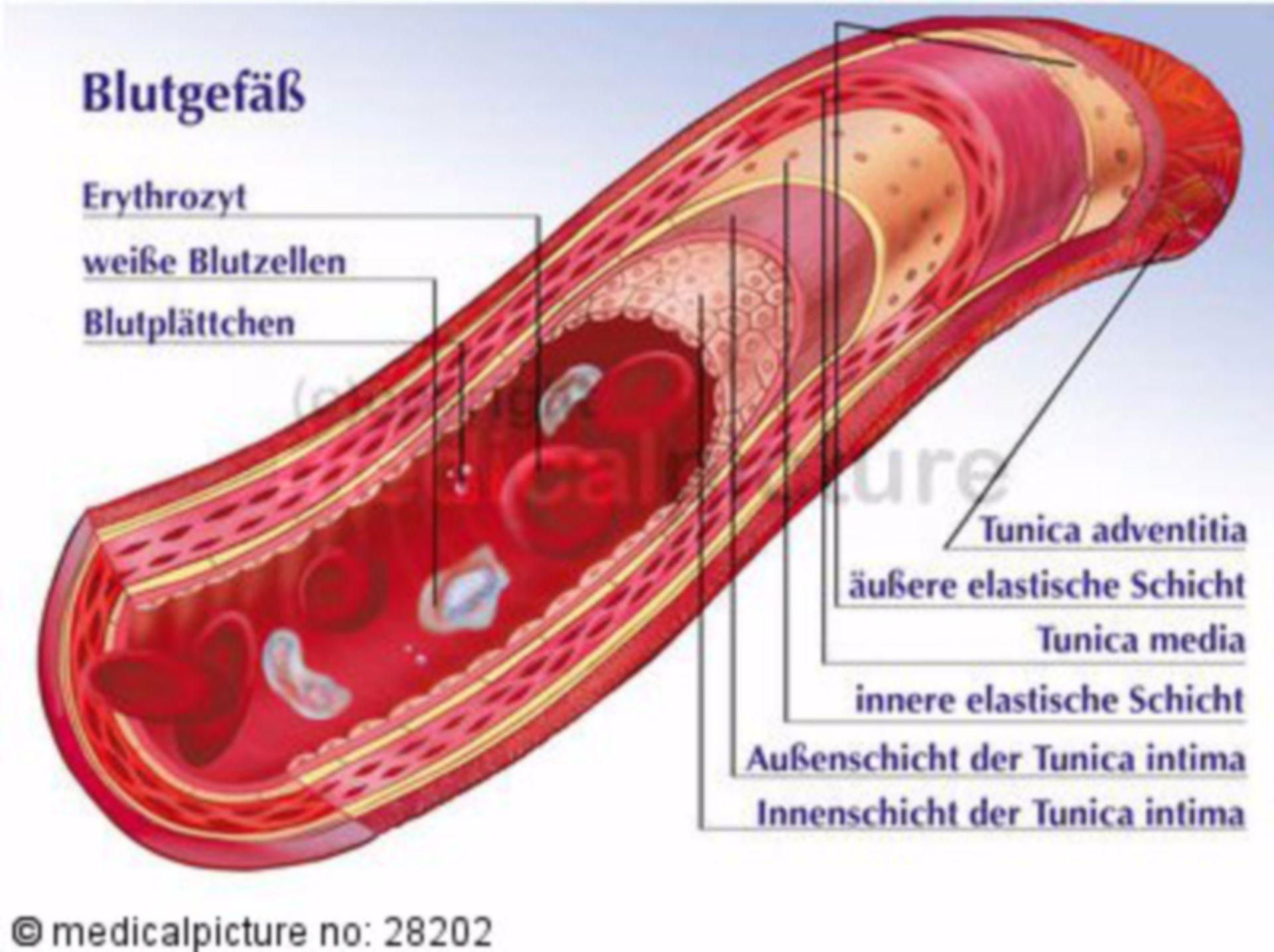 Muscular Artery