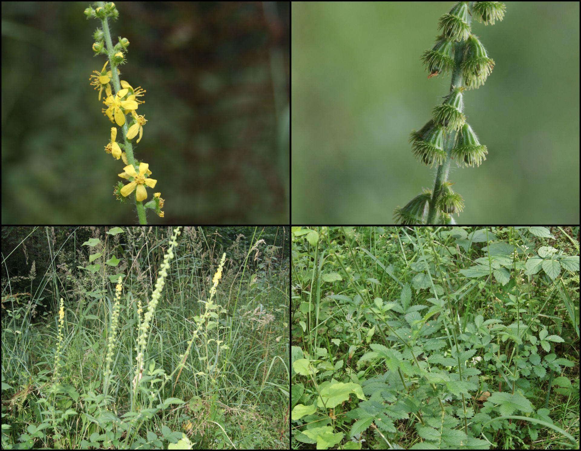Odermennig (Agrimonia eupatoria)