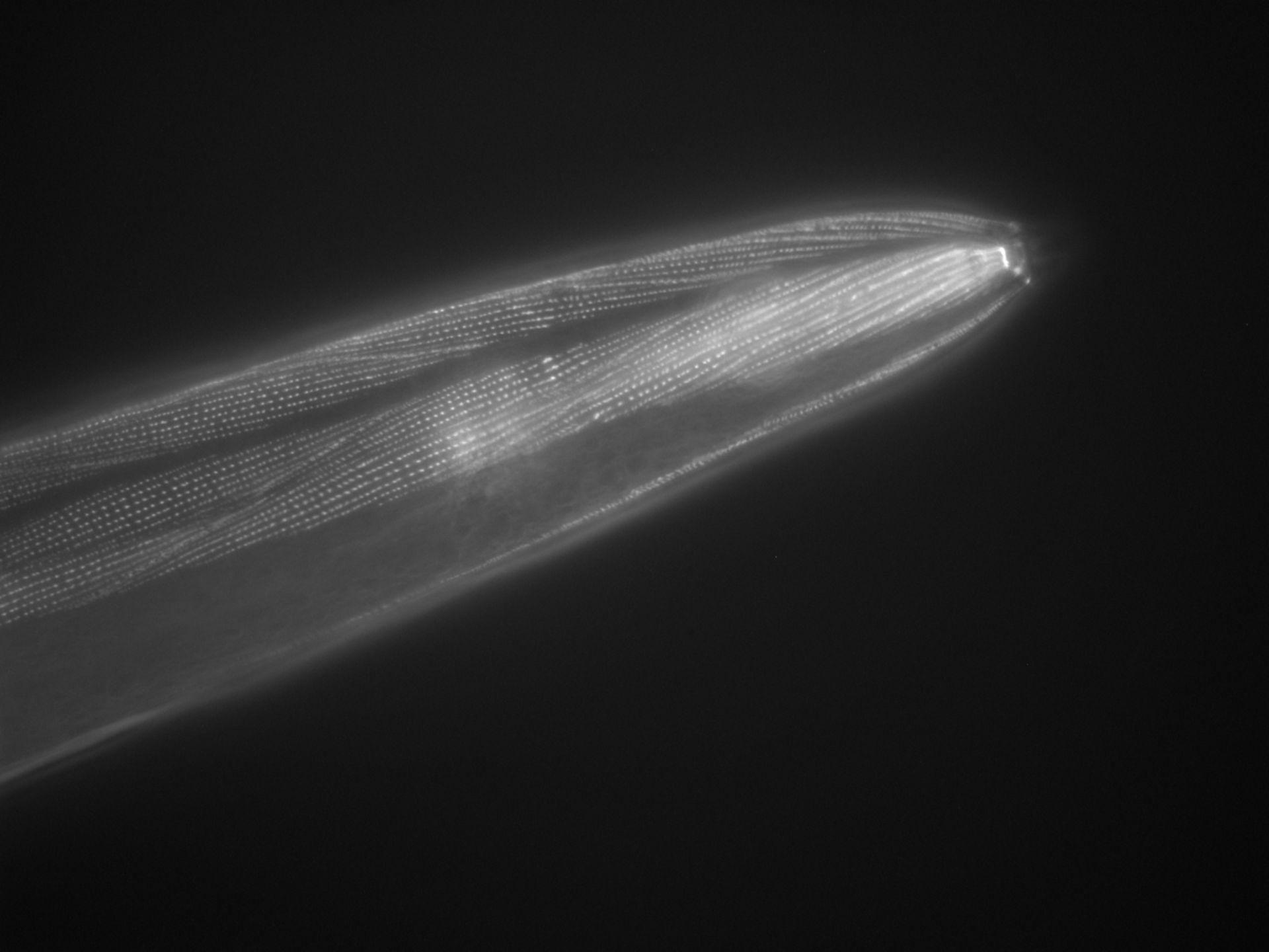 Caenorhabditis elegans (Actin filament) - CIL:1054