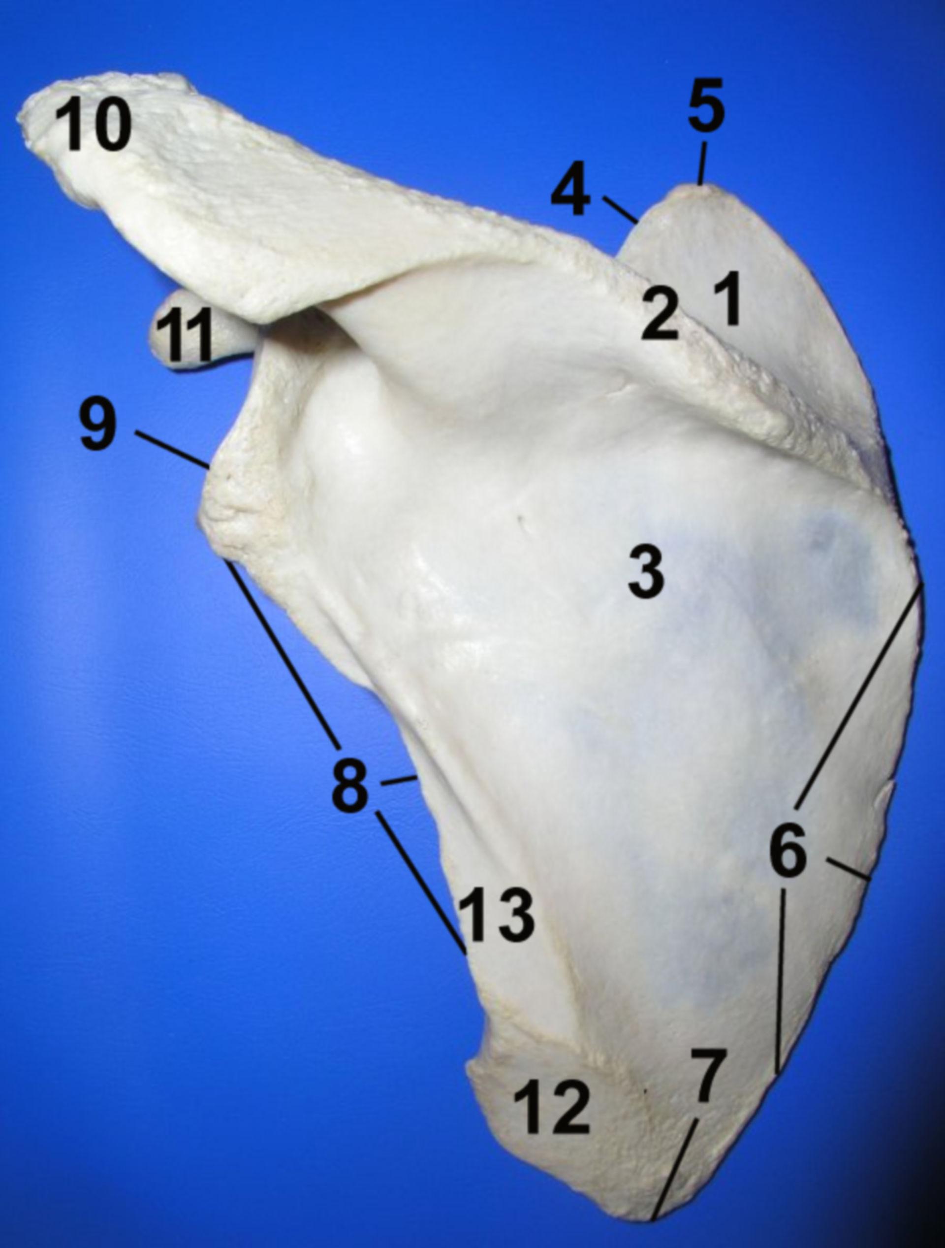 Scapula: Facies dorsalis
